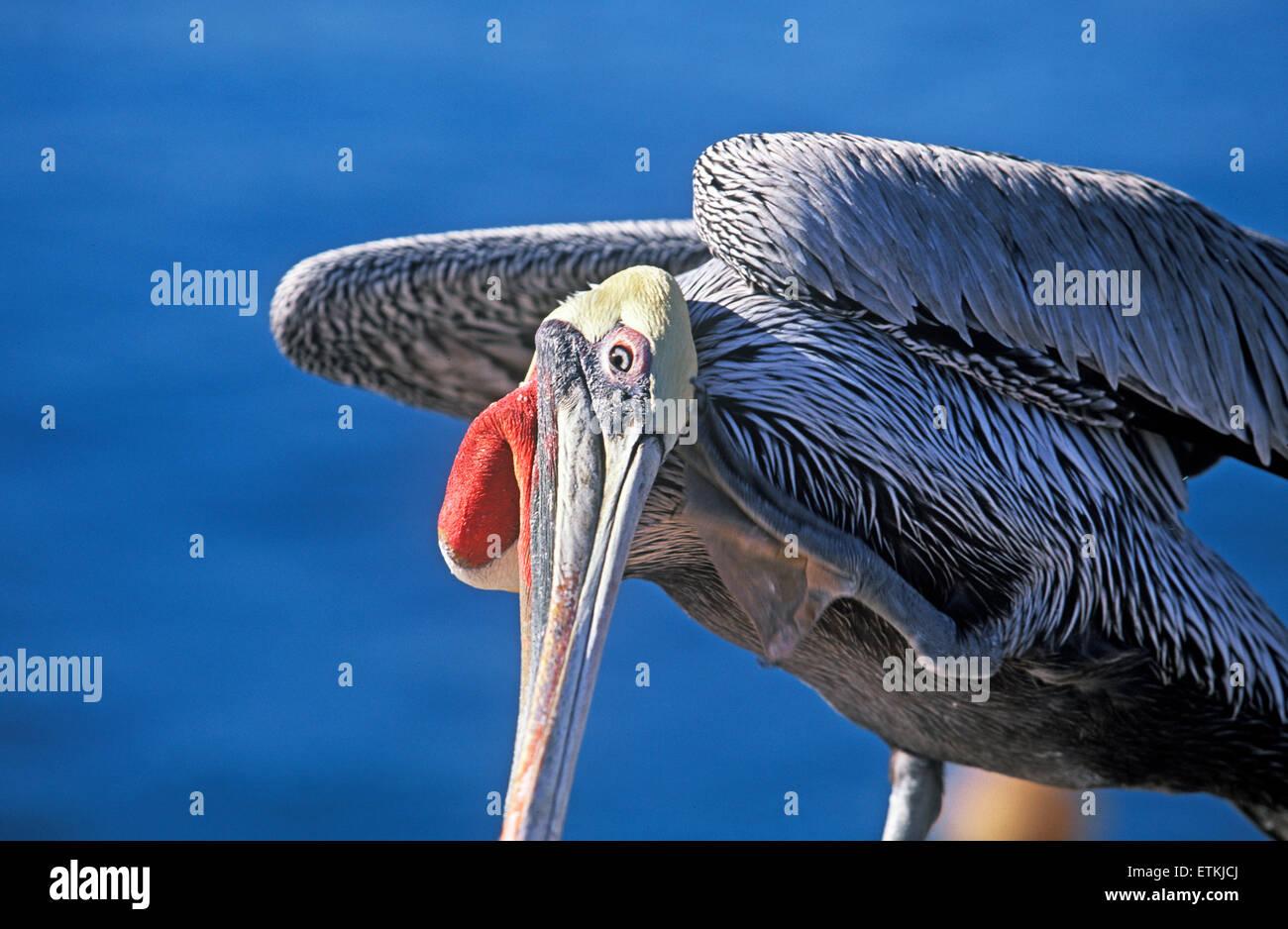 Brown Pelican (Pelecanus occidentalis), Santa Barbara,  California, USA, - Stock Image