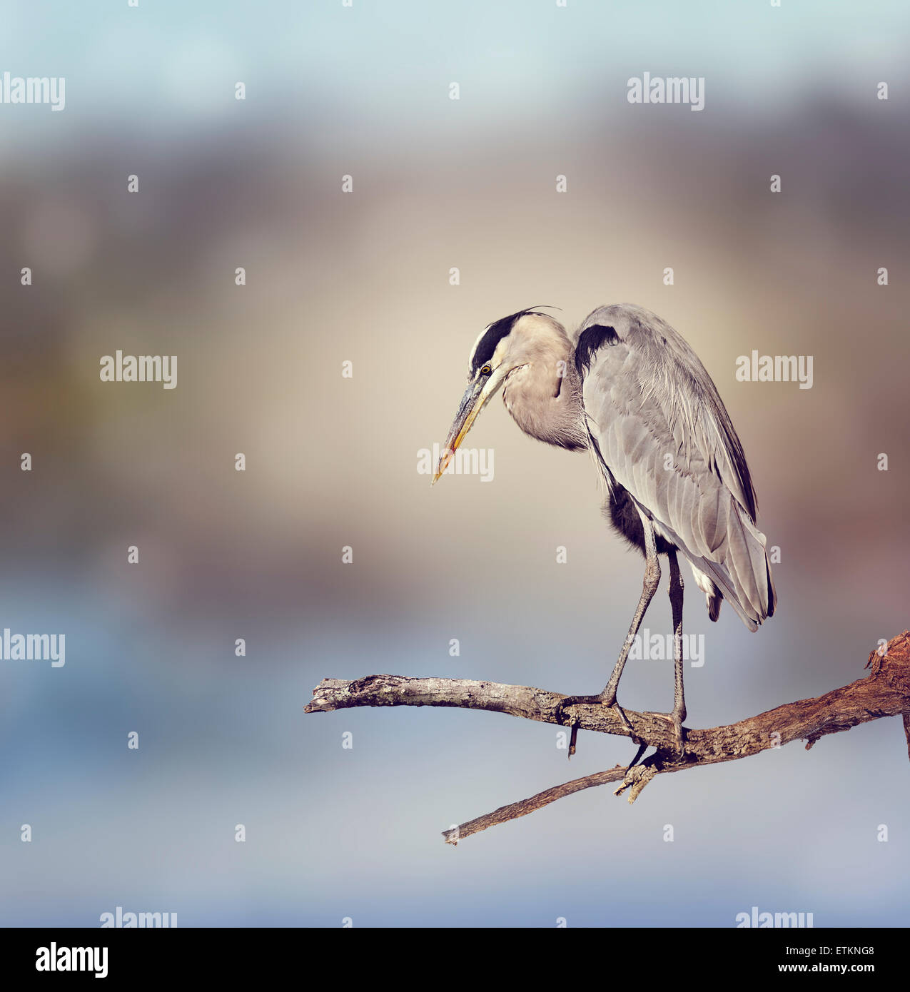 Great Blue Heron Perches On A Branch - Stock Image