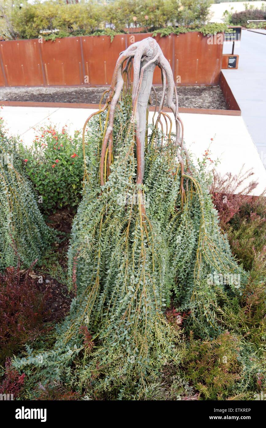 Acacia Cultriformis Cascade Or Known As Cascade Knife Blade Wattle