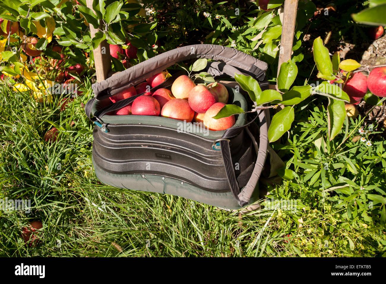 Bag Apples Apple Picking Orchard Stock Photos & Bag Apples