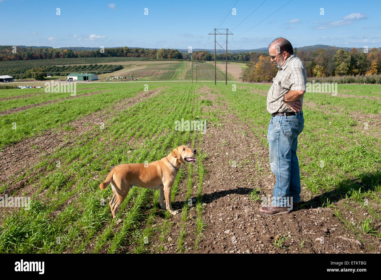 A farmer out in the field is looking at his dog, a yellow lab, in Aspers, Pennsylvania, USA - Stock Image