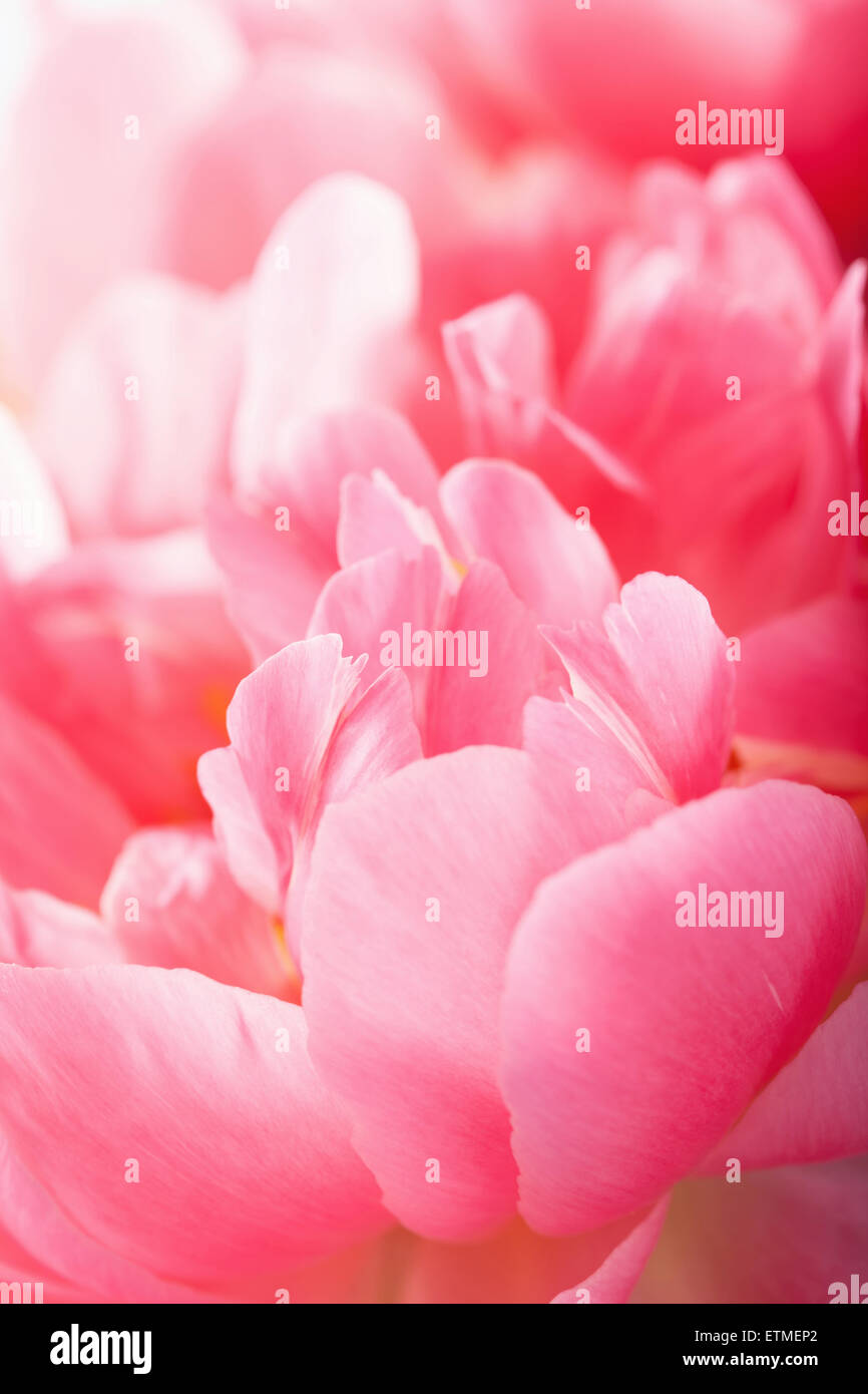 pink peony flower petals macro background - Stock Image