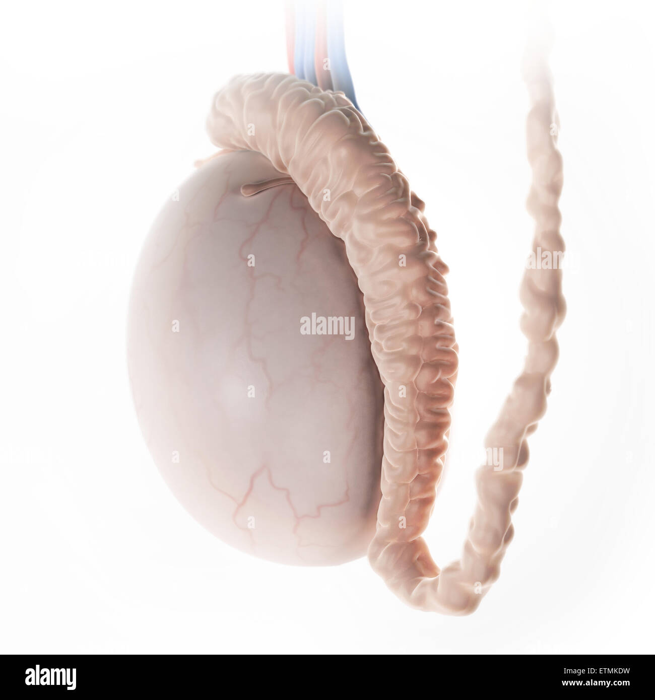 Illustration of a testicle, part of the male reproductive system. - Stock Image