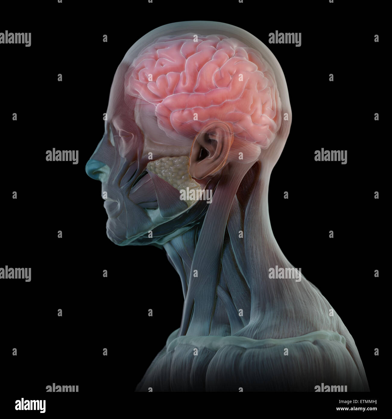 Conceptual image in the style of a clay model of the muscles of the face with the brain visible. Stock Photo