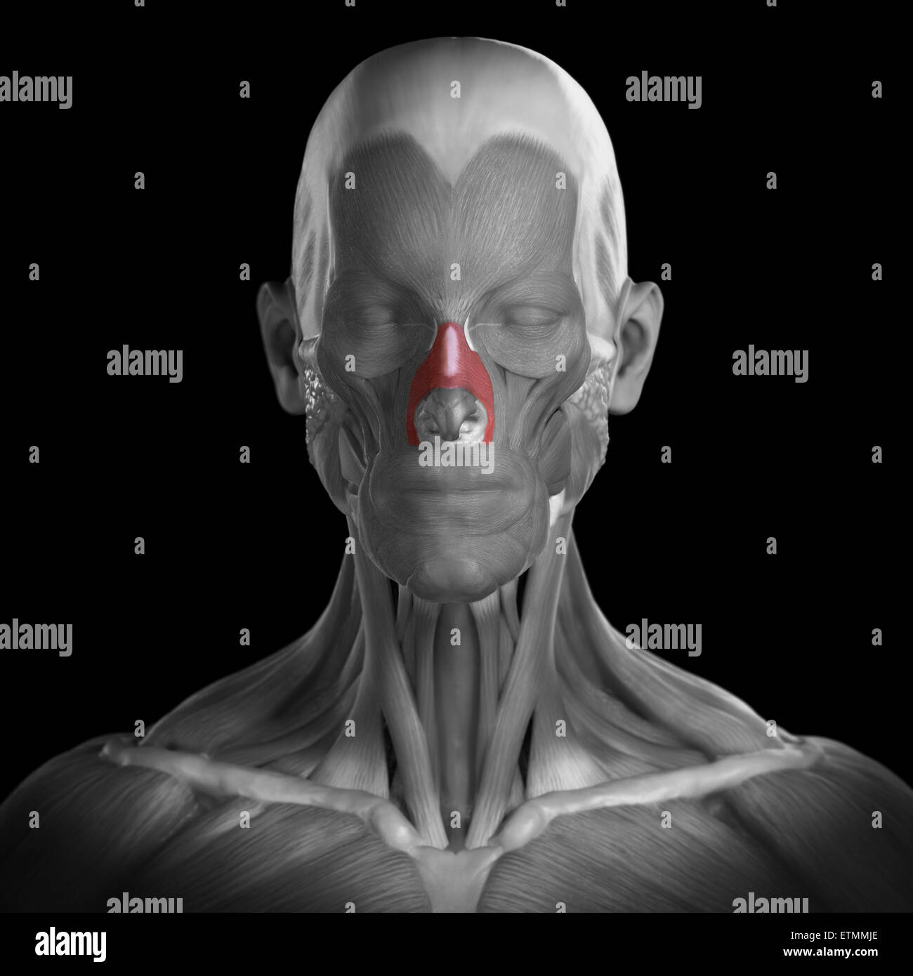 Conceptual image of the muscles of the face with the nasalis muscles highlighted. Stock Photo
