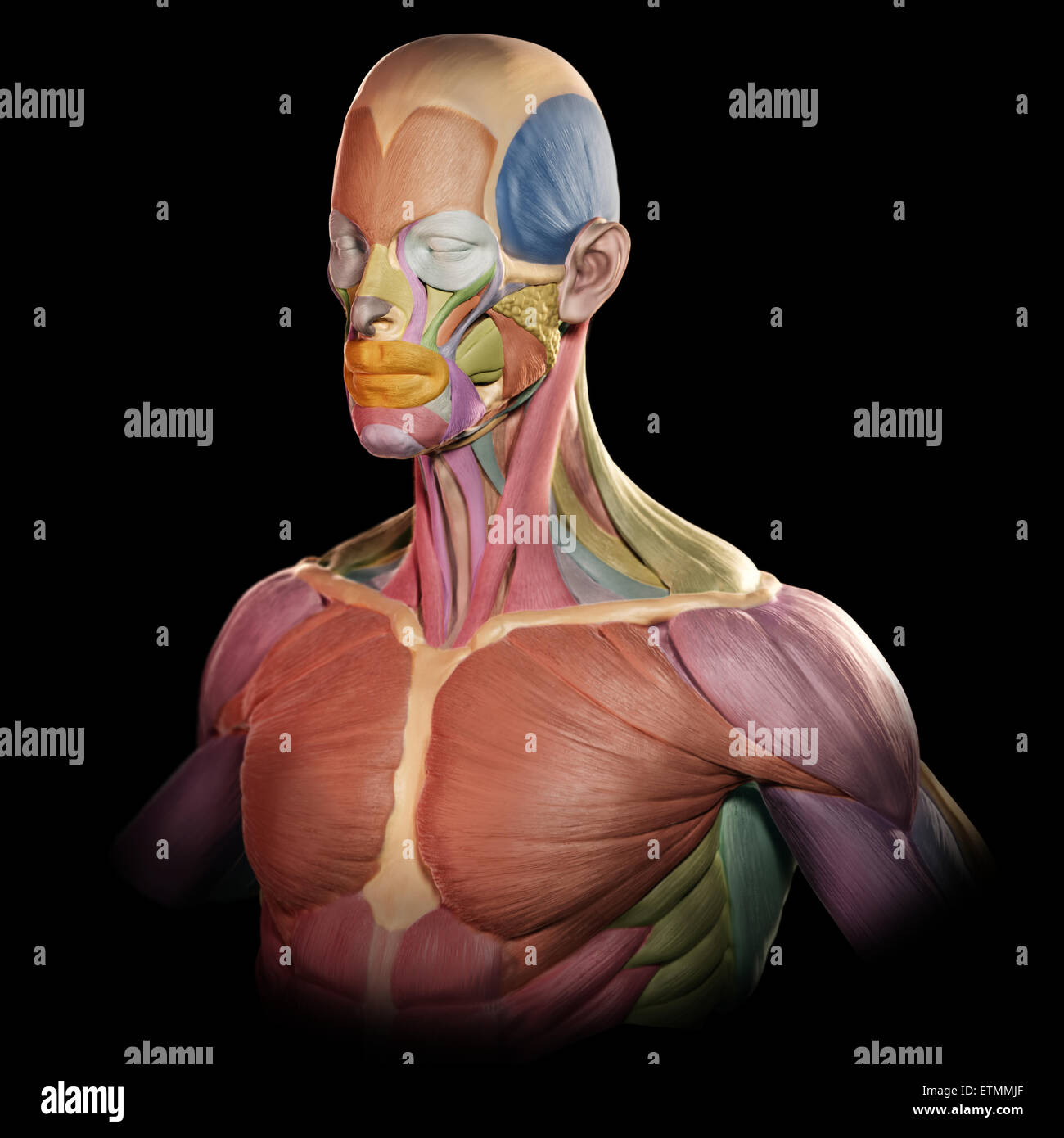 Stylized Image Of The Muscles Of The Face And Upper Body In The