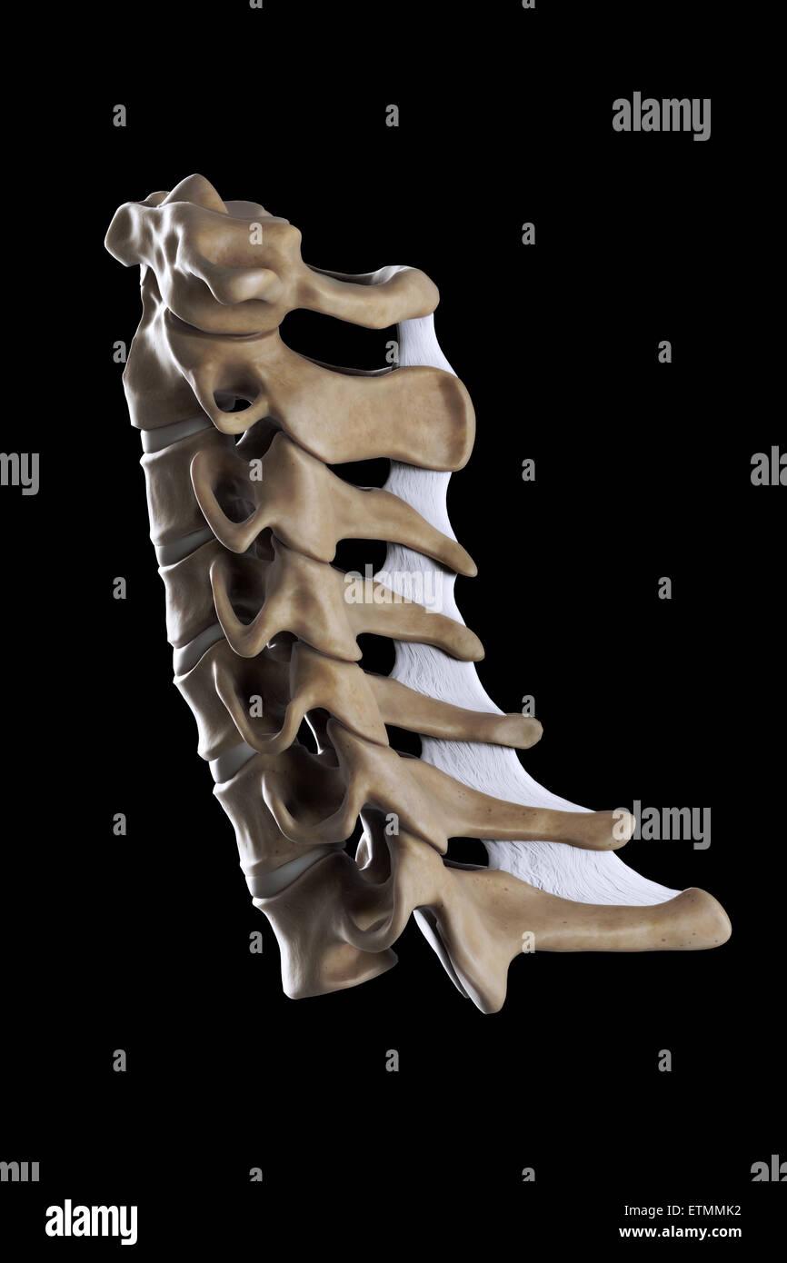 Illustration showing all seven cervical vertebrae. - Stock Image