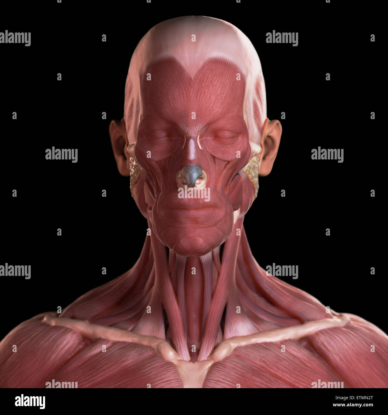 Conceptual image of the muscles of the face. Stock Photo