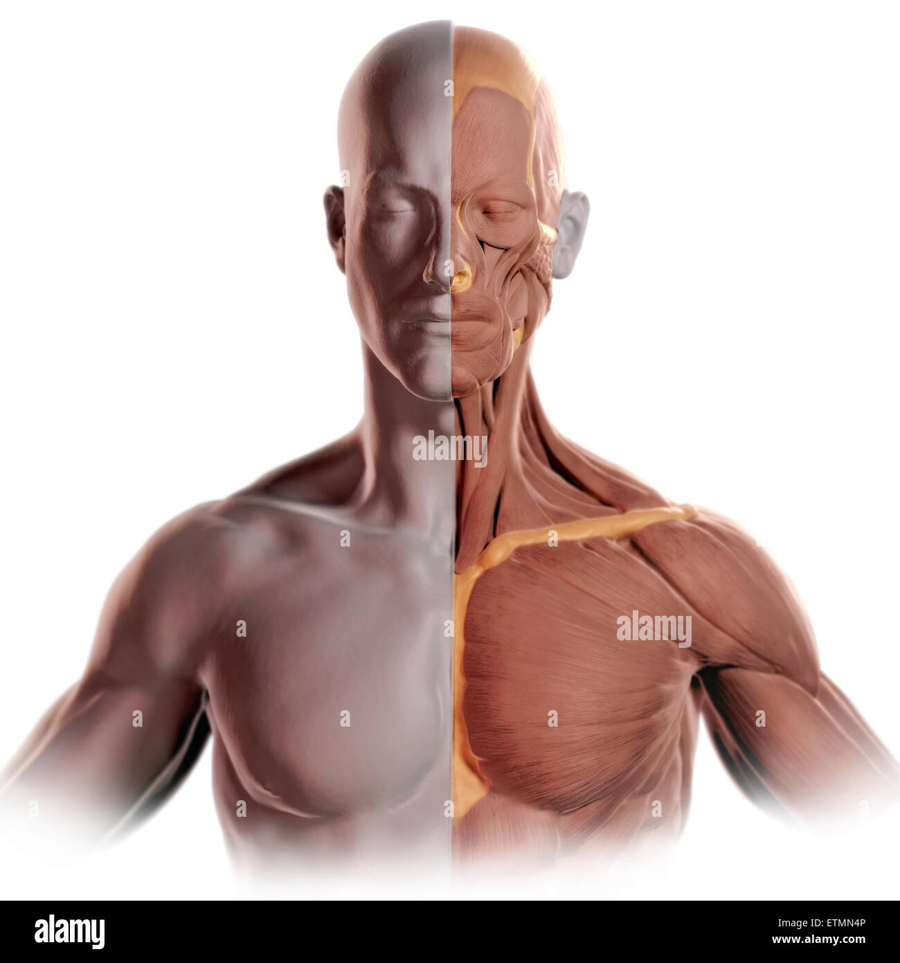 Conceptual image in the style of a clay model of the face and upper body with muscle exposed on one side. Stock Photo
