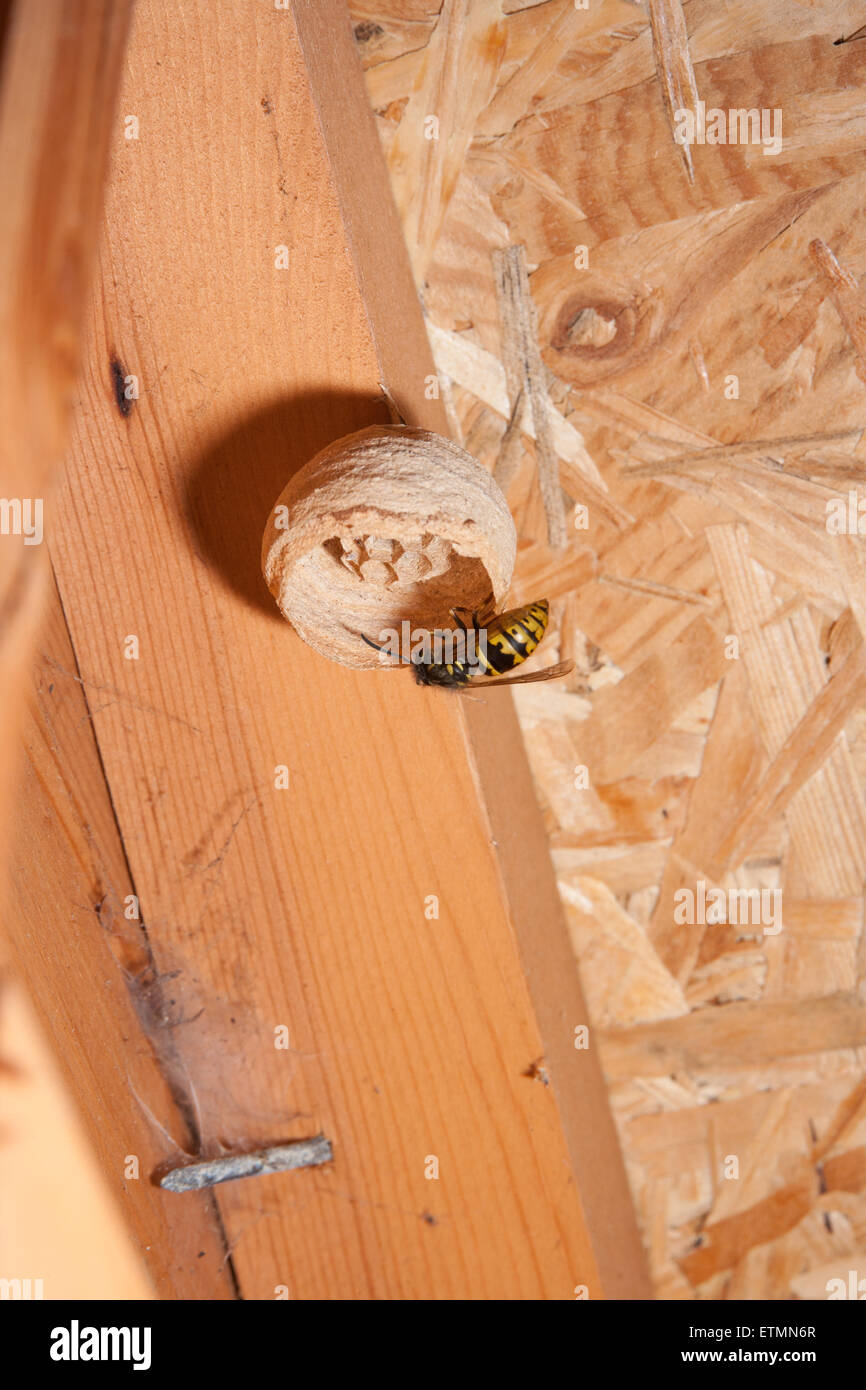 Wasp building a nest in a roof space. - Stock Image