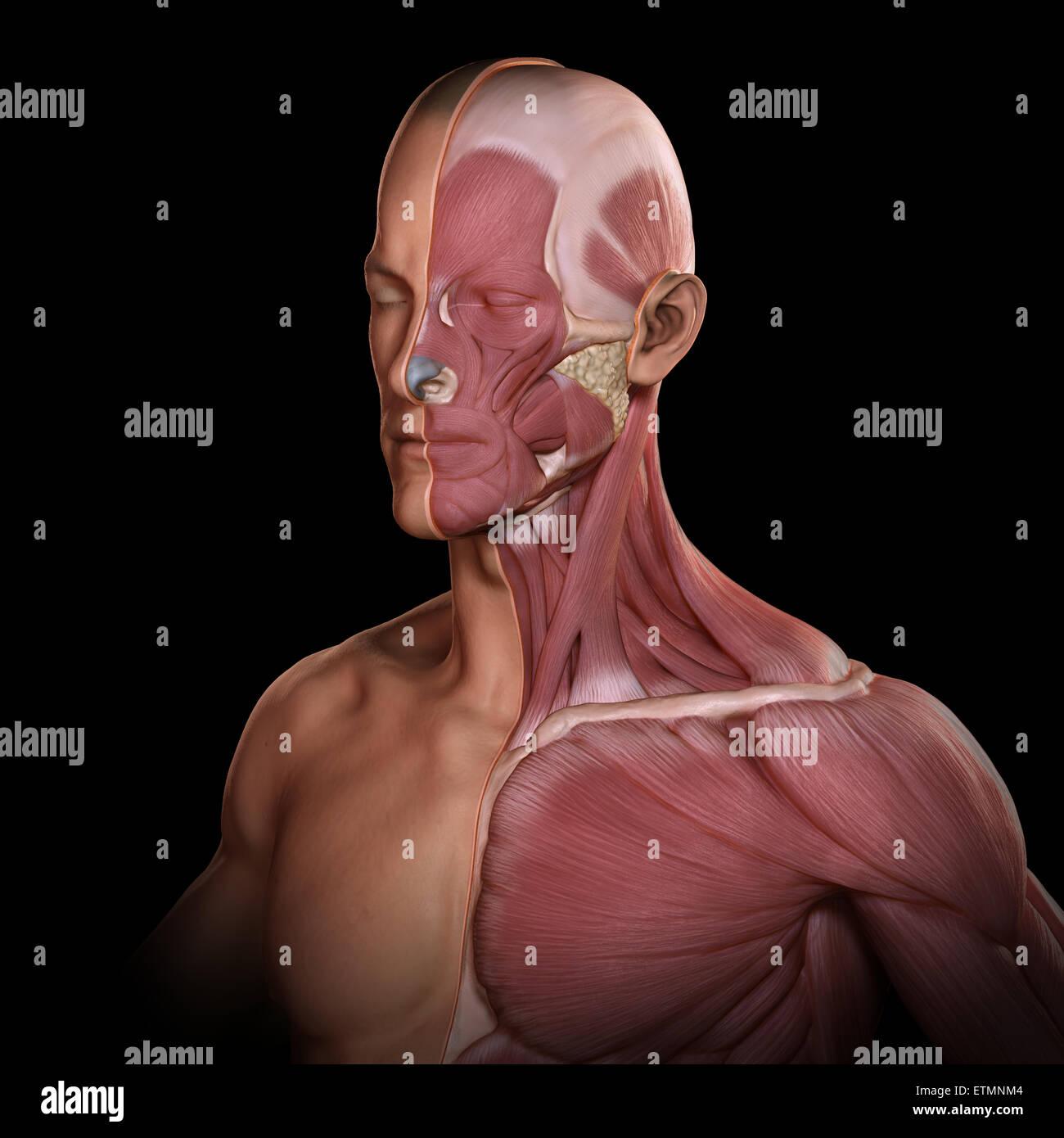 Upper facial muscles-6596