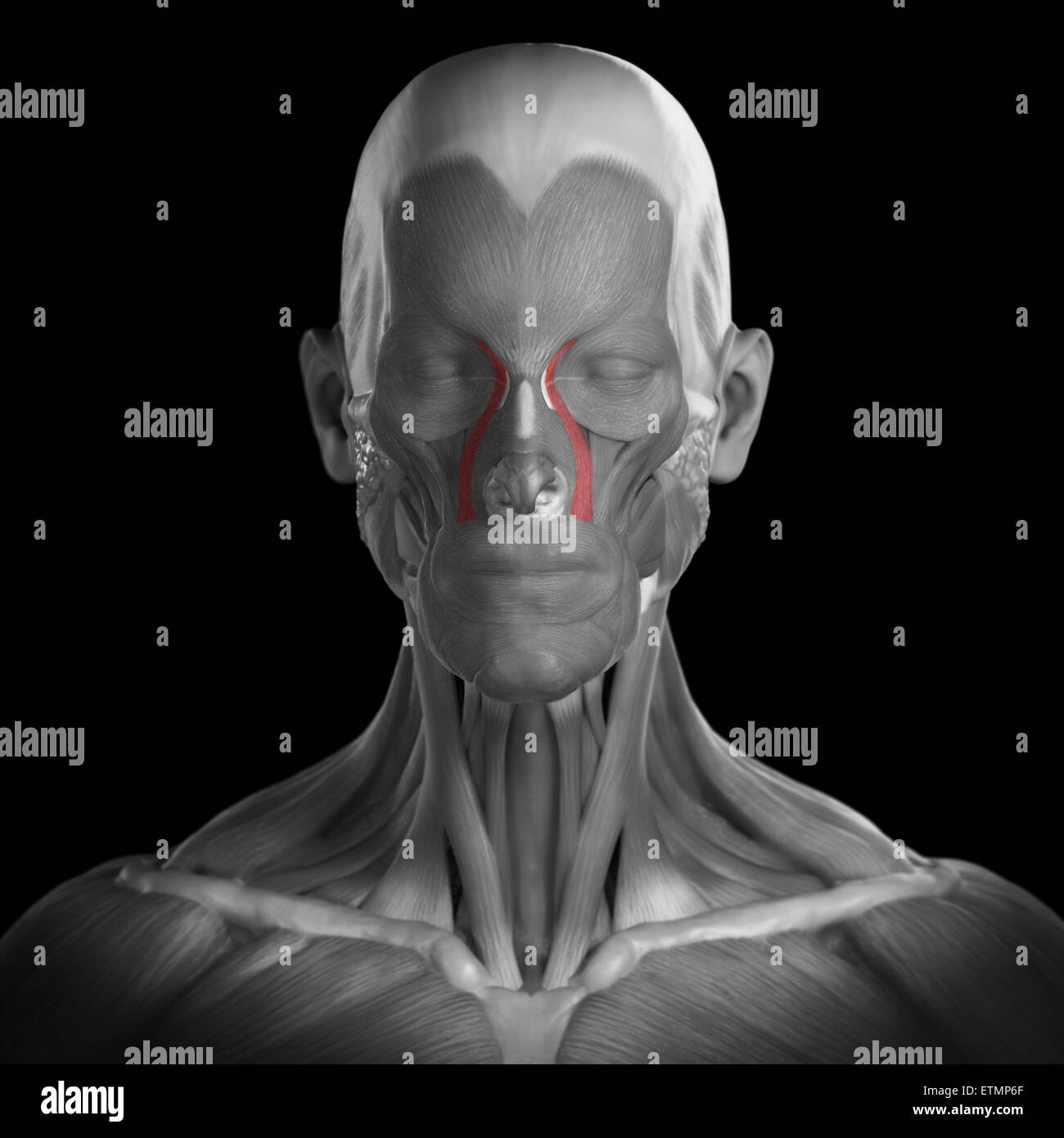 Conceptual image of the muscles of the face with the levator labii superioris alaeque nasi muscles highlighted. Stock Photo