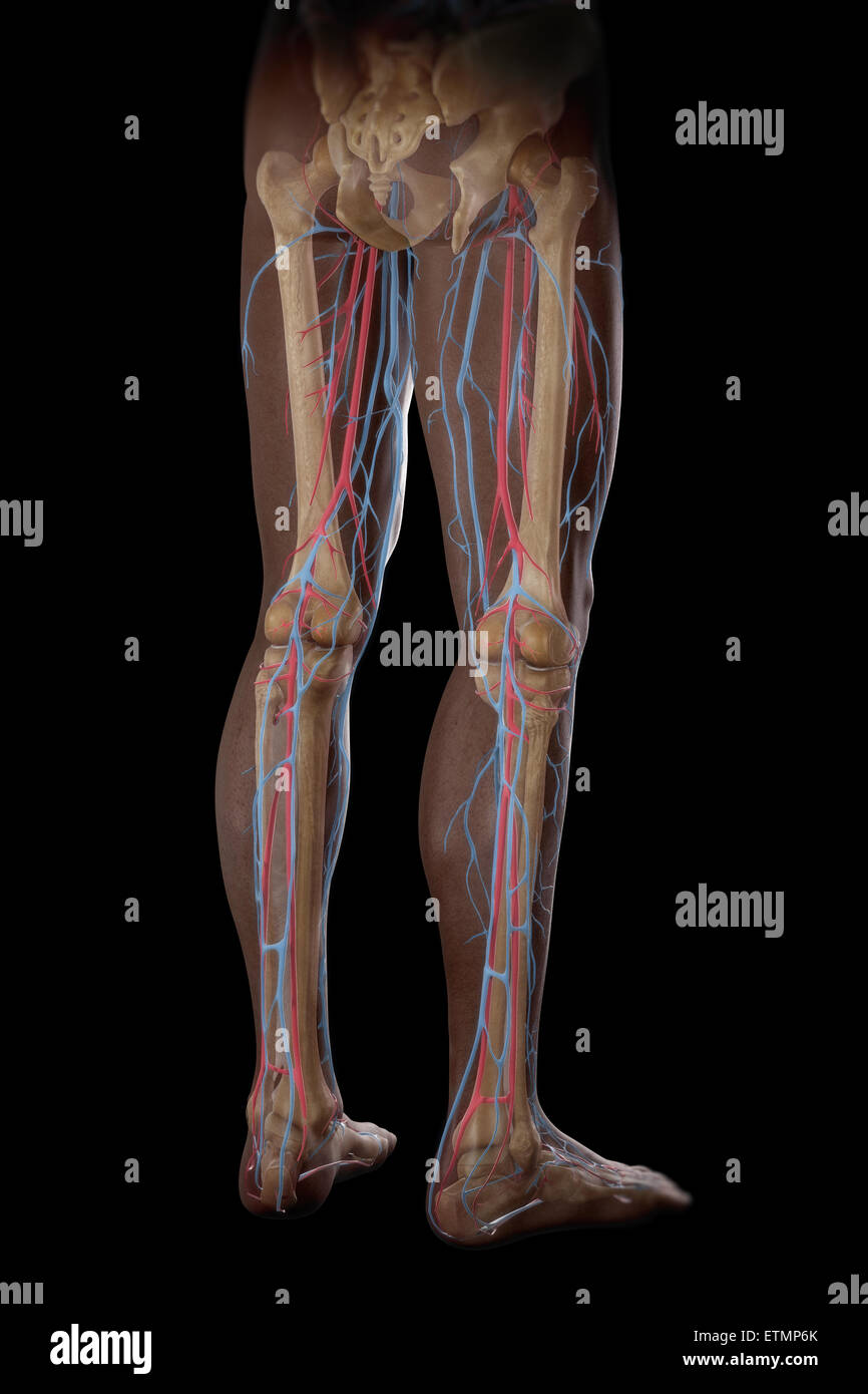 Illustration of the blood supply and skeletal structure of the legs, visible through skin. - Stock Image