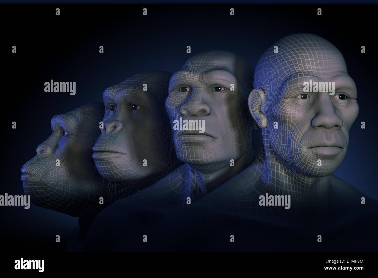 Conceptual image showing four stages of human evolution; Australopithecus, Homo Habilis, Homo Erectus and Homo Sapiens. - Stock Image