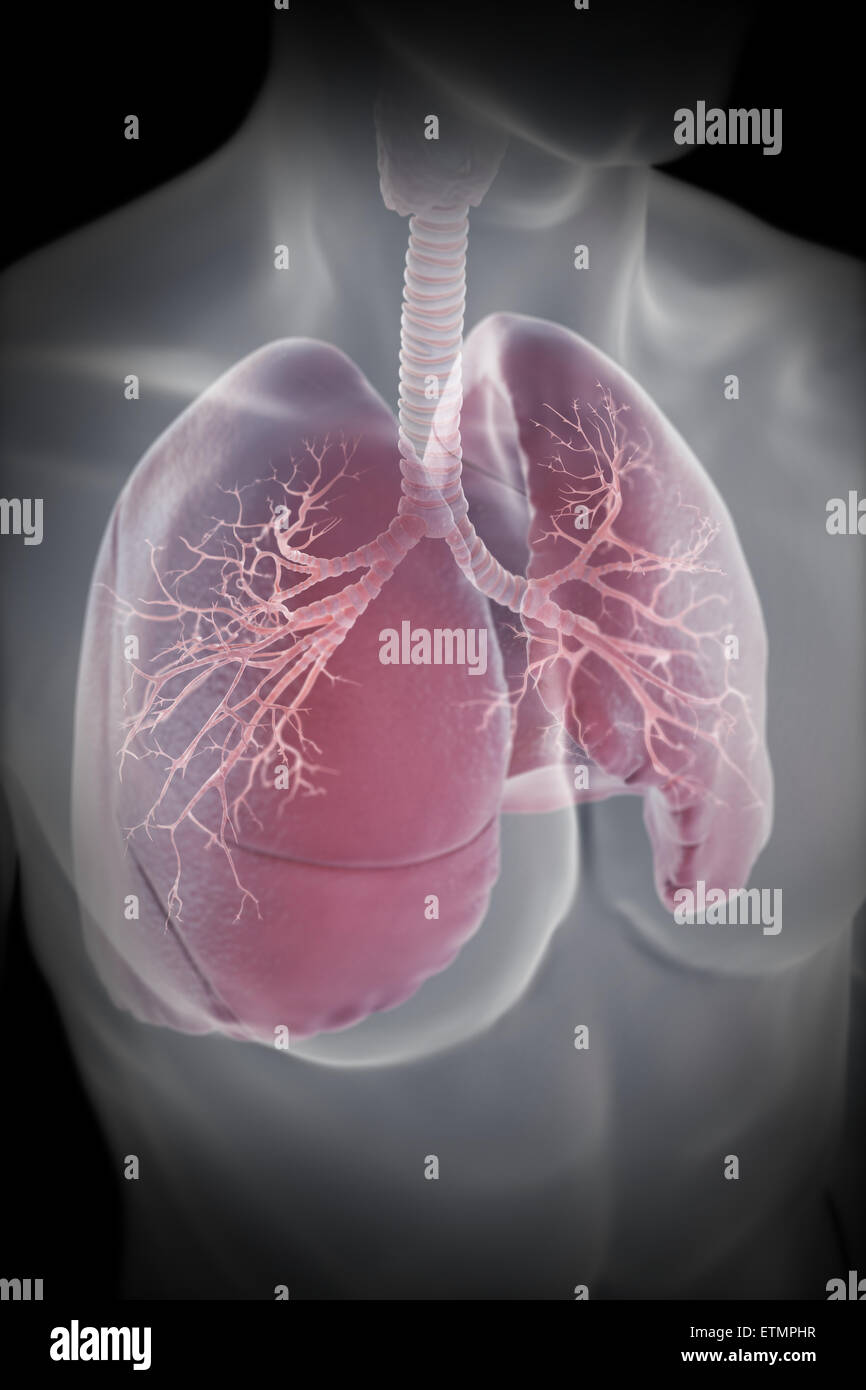 Illustration showing the lungs within the chest. - Stock Image