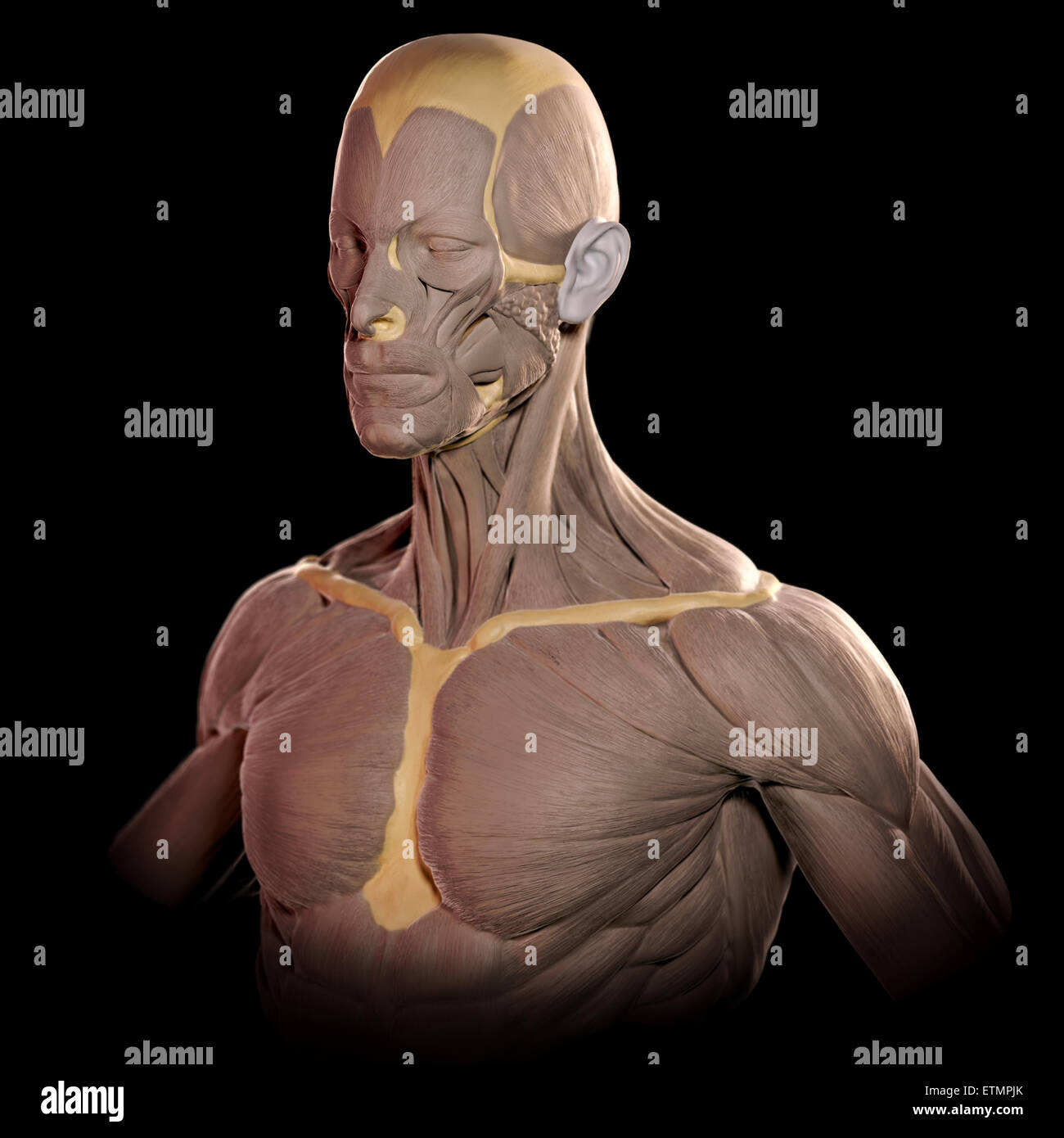 Conceptual image in the style of a clay model of the muscles of the face and upper body. Stock Photo