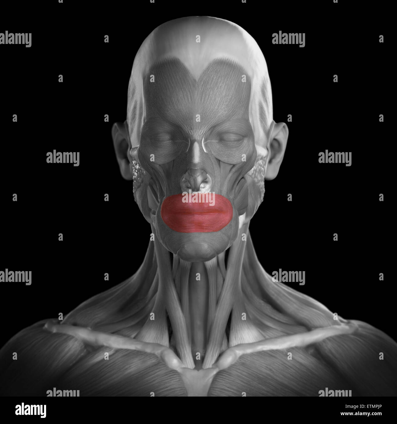 Conceptual Image Of The Muscles Of The Face With The Orbicularis
