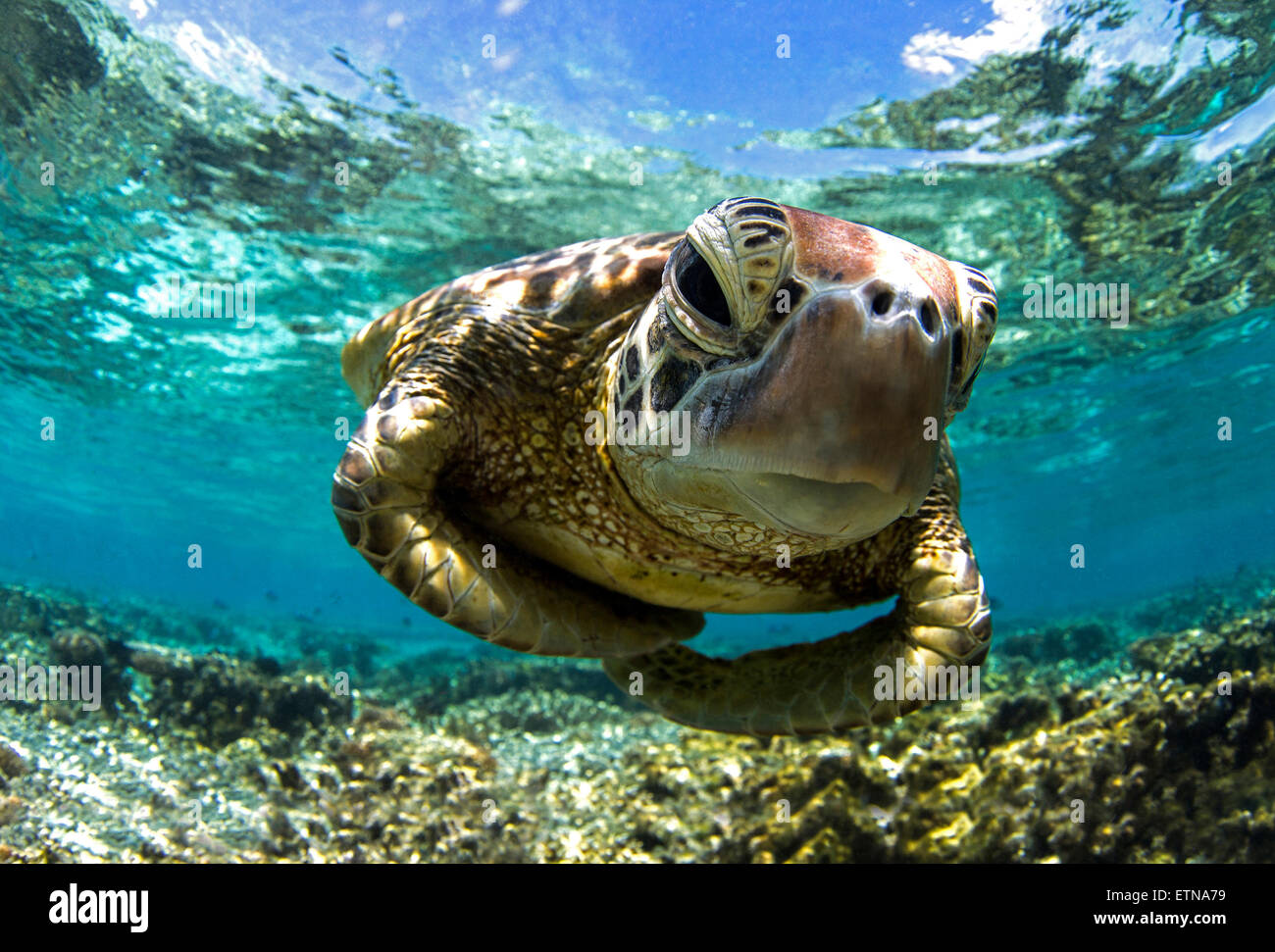 Close-up shot underwater of a turtle swimming in the reef, Queensland, Australia - Stock Image