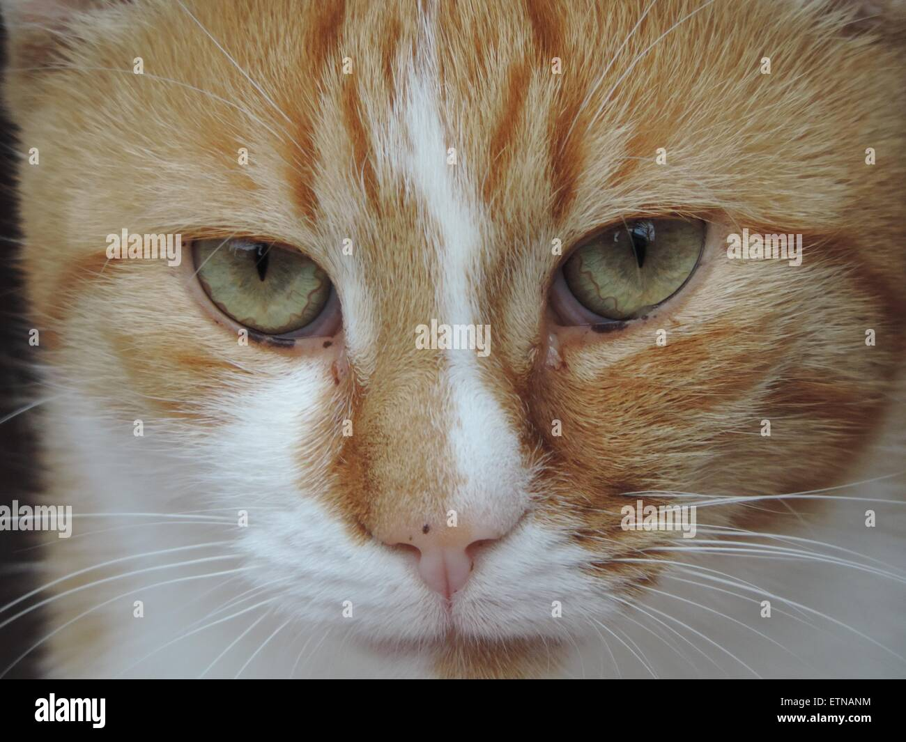 Ginger and white cats head - Stock Image