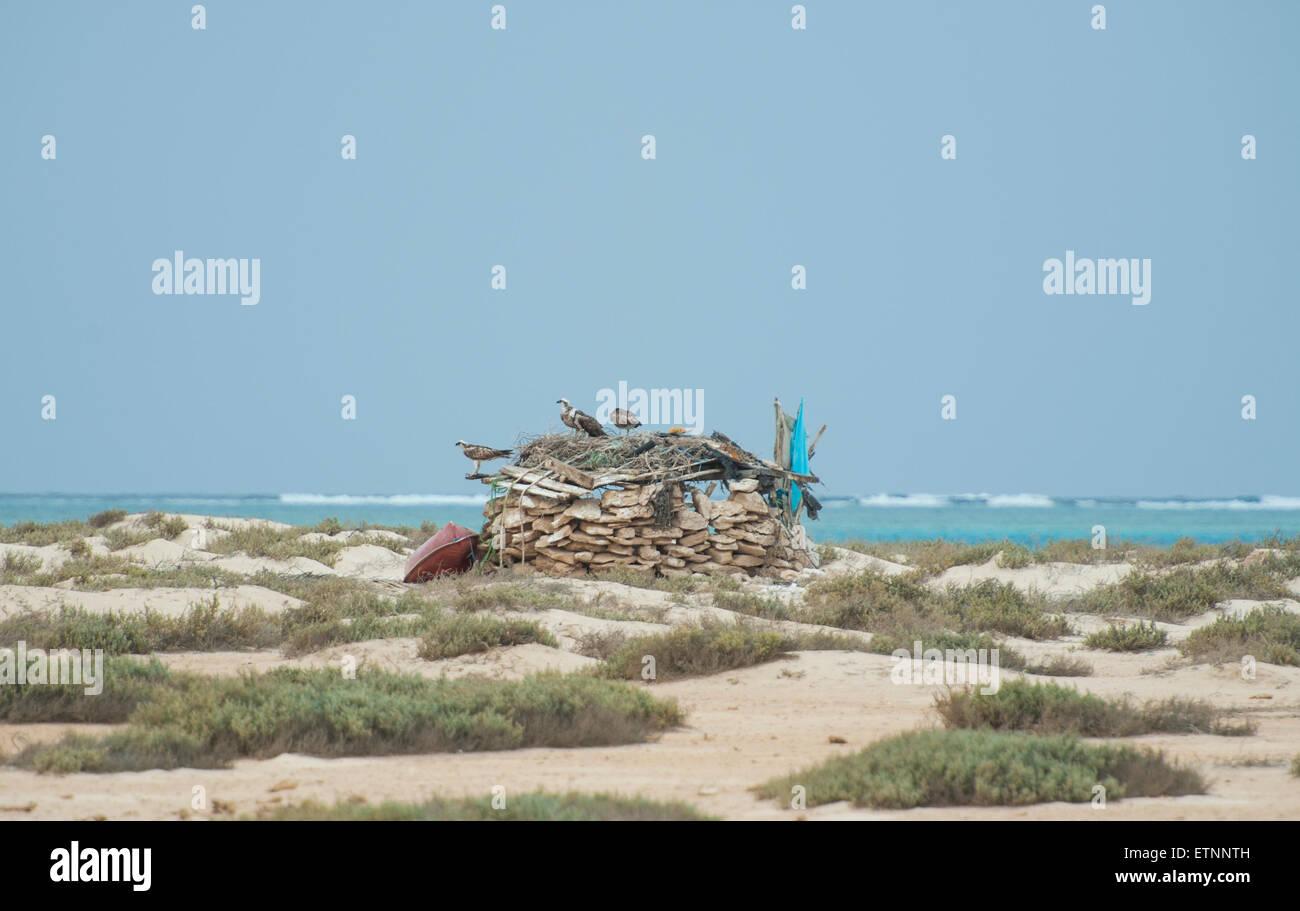 Three osprey wild birds on a stone hut at tropical desert island - Stock Image