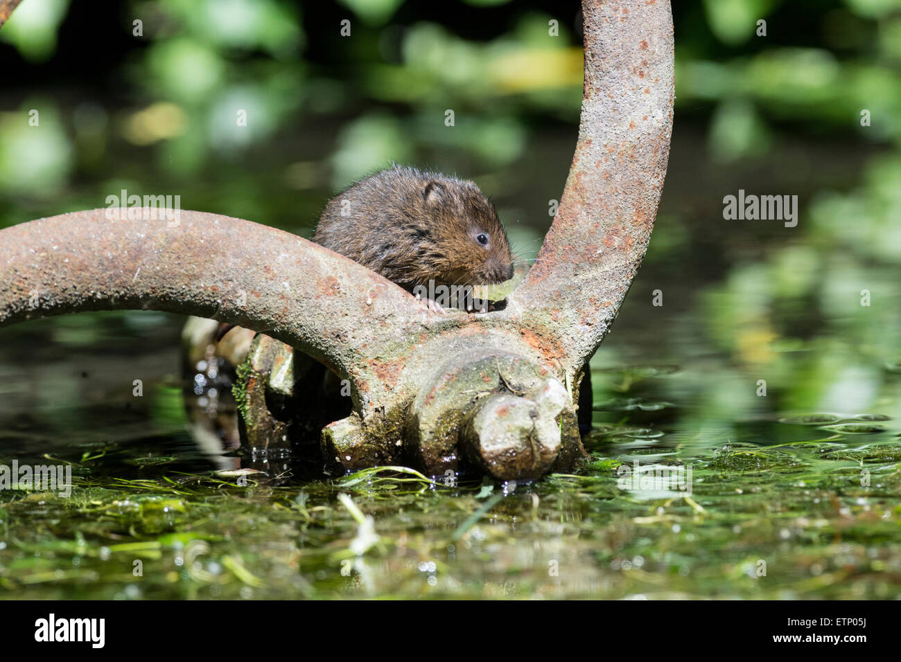 Water vole (Arvicola terrestris) exploring an old pump-house wheel dumped in mid-stream. - Stock Image