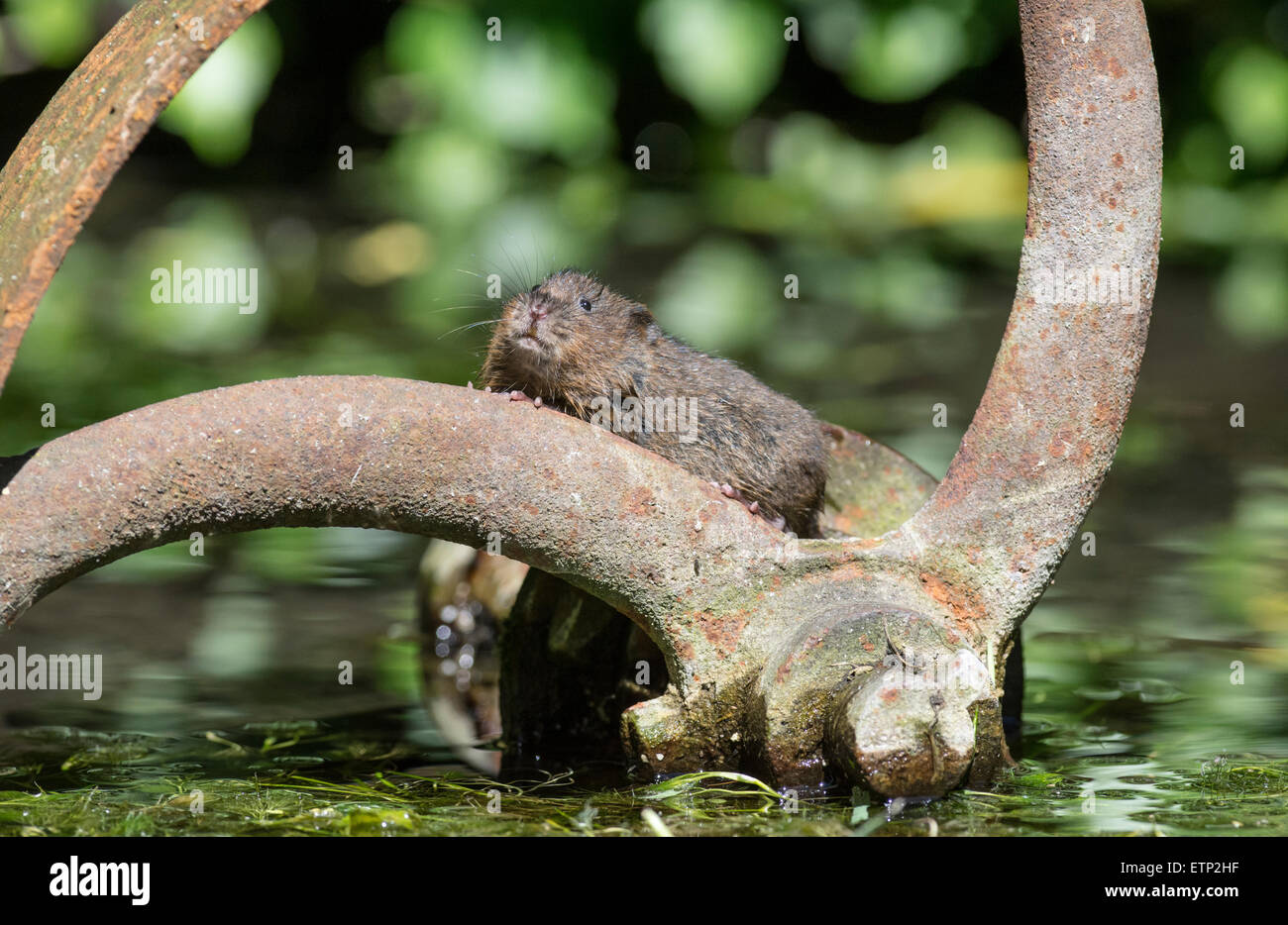 Water vole (Arvicola terrestris) exploring an old pump-house wheel dumped in mid-stream - Stock Image