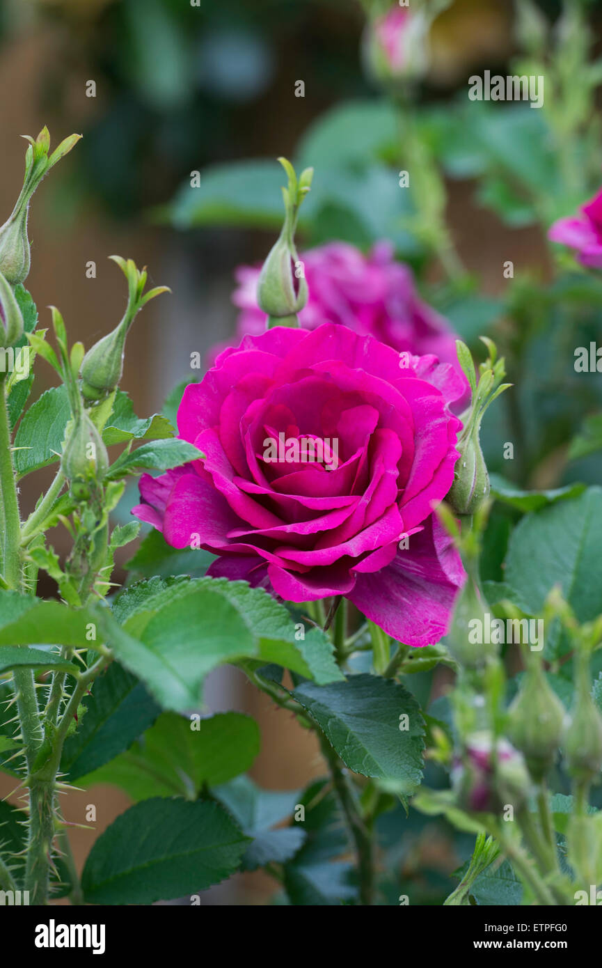 Magenta rose in a garden - Stock Image
