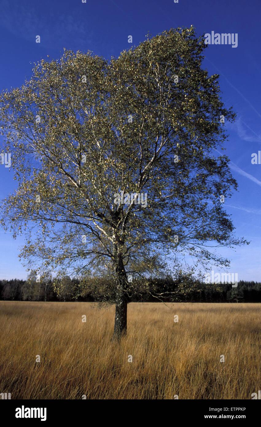 BEL, Belgium, birch at the fen at the forest of Raeren.  BEL, Belgien, Birke im Pissevenn im Raerener Wald. Stock Photo