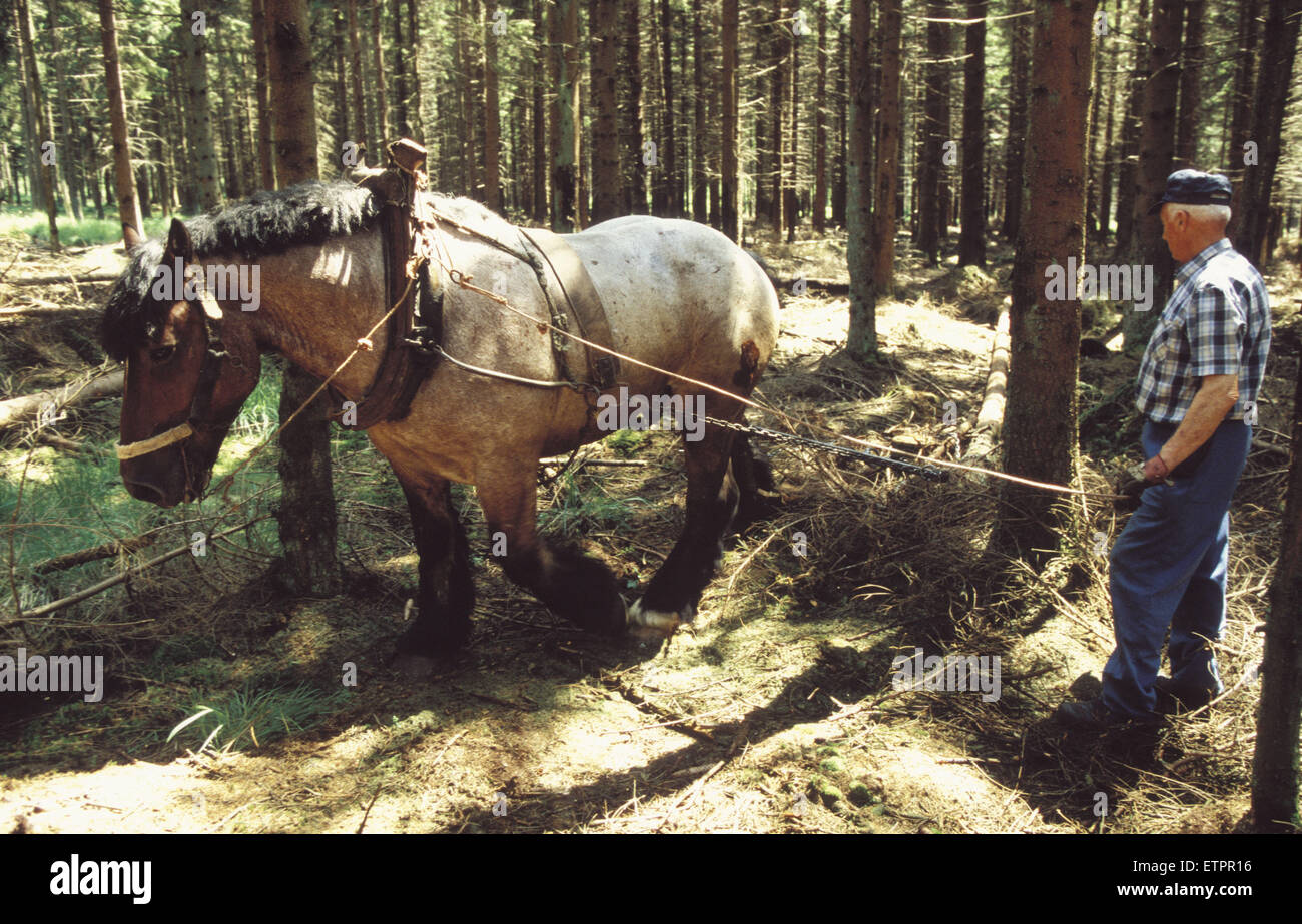 BEL, Belgium, the forest of Raeren, forestry work with horses, workhorse.  BEL, Belgien, Raerener Wald, Waldarbeiten Stock Photo