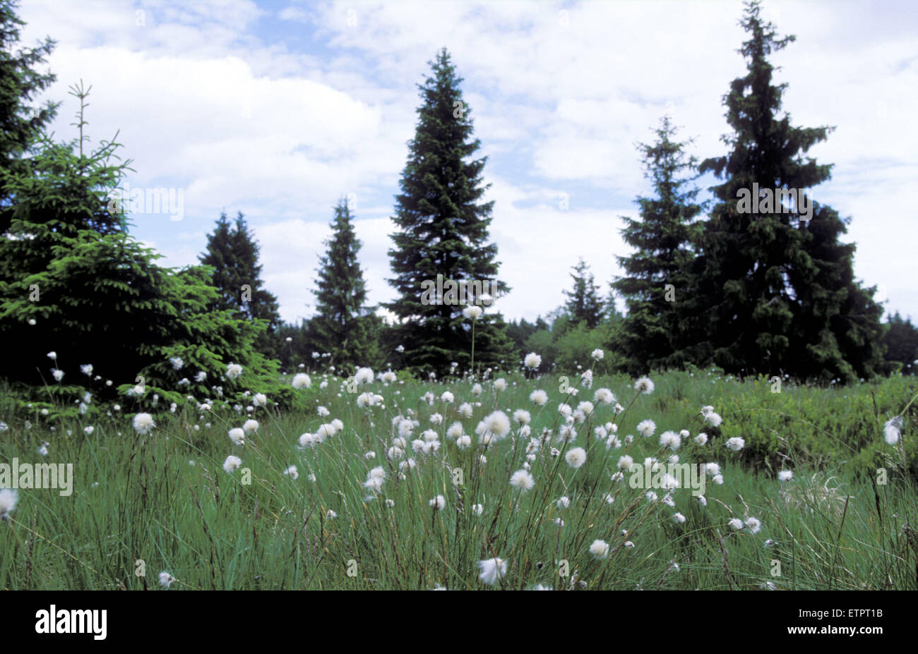 BEL, Belgium, Eastbelgium, Hautes Fagnes, Hohes Venn, cotton grass and spruces.  BEL, Belgien, Ostbelgien, Hohes - Stock Image