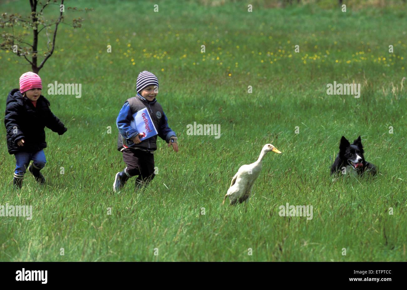 BEL, Belgium, Eastbelgium, Hautes Fagnes, Hohes Venn, children chasing a duck during the sheperd's festival near Stock Photo