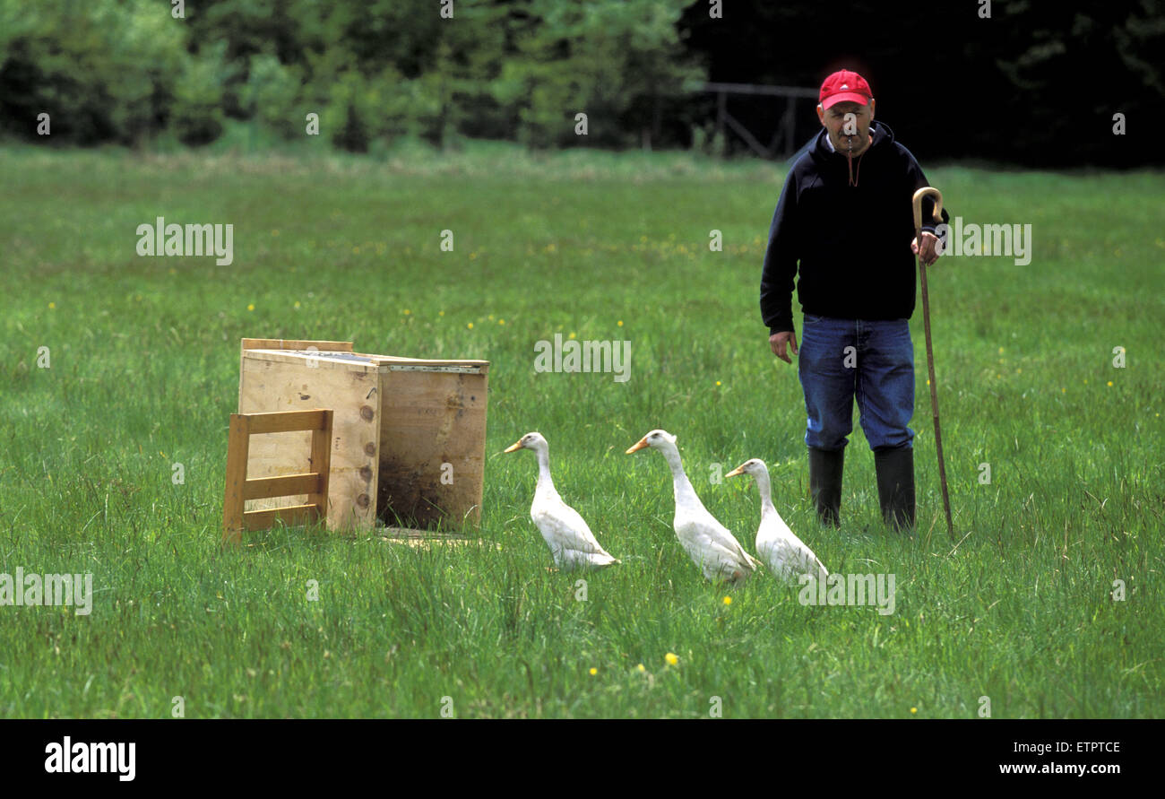 BEL, Belgium, Eastbelgium, Hautes Fagnes, Hohes Venn, man with ducks during the sheperd's festival near Botrange. Stock Photo
