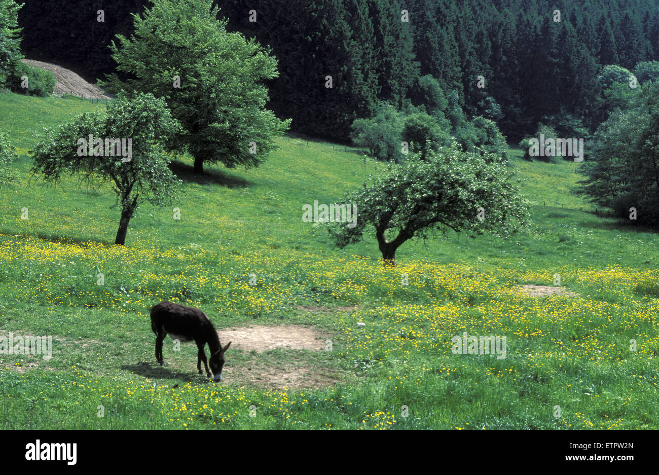 BEL, Belgium, Eastbelgium, donkey on a meadow at Chodes near Malmedy.  BEL, Belgien, Ostbelgien, Esel auf einer Stock Photo