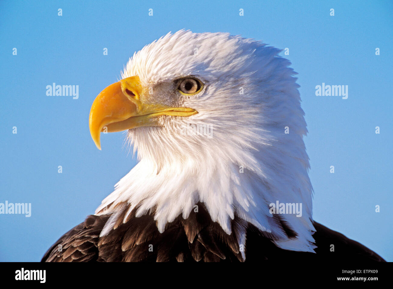 Head of mature Bald Eagle portrait closeup ( Haliaetetus leucocephalus) - Stock Image