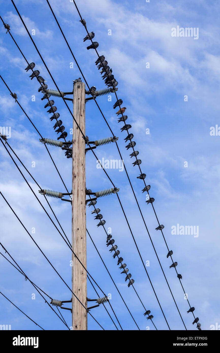 Birds on power lines with a blue sky background. - Stock Image