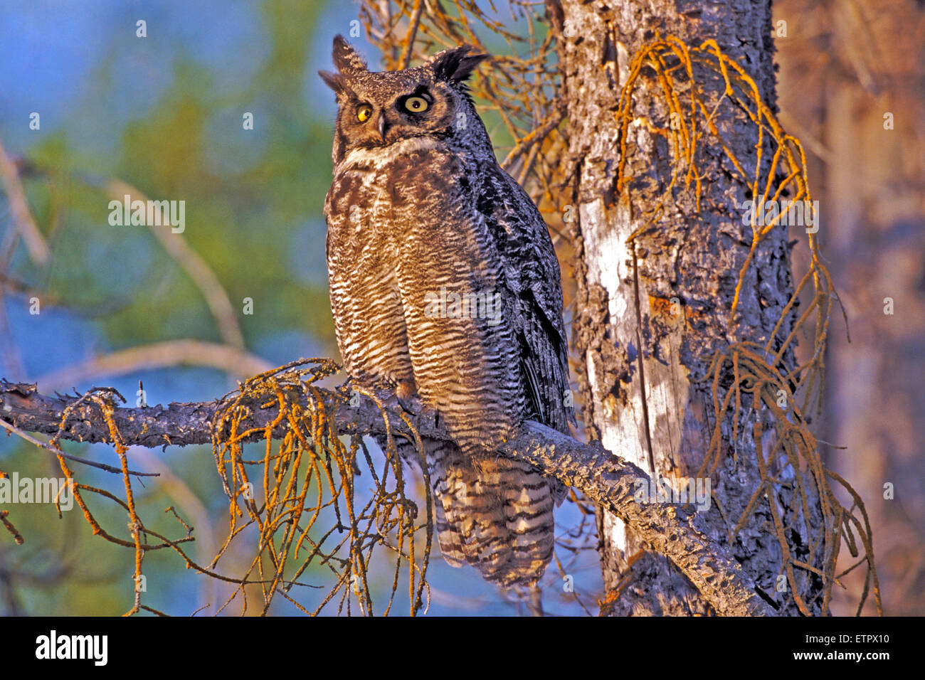 Great Horned Owl sitting in dead spruce tree - Stock Image