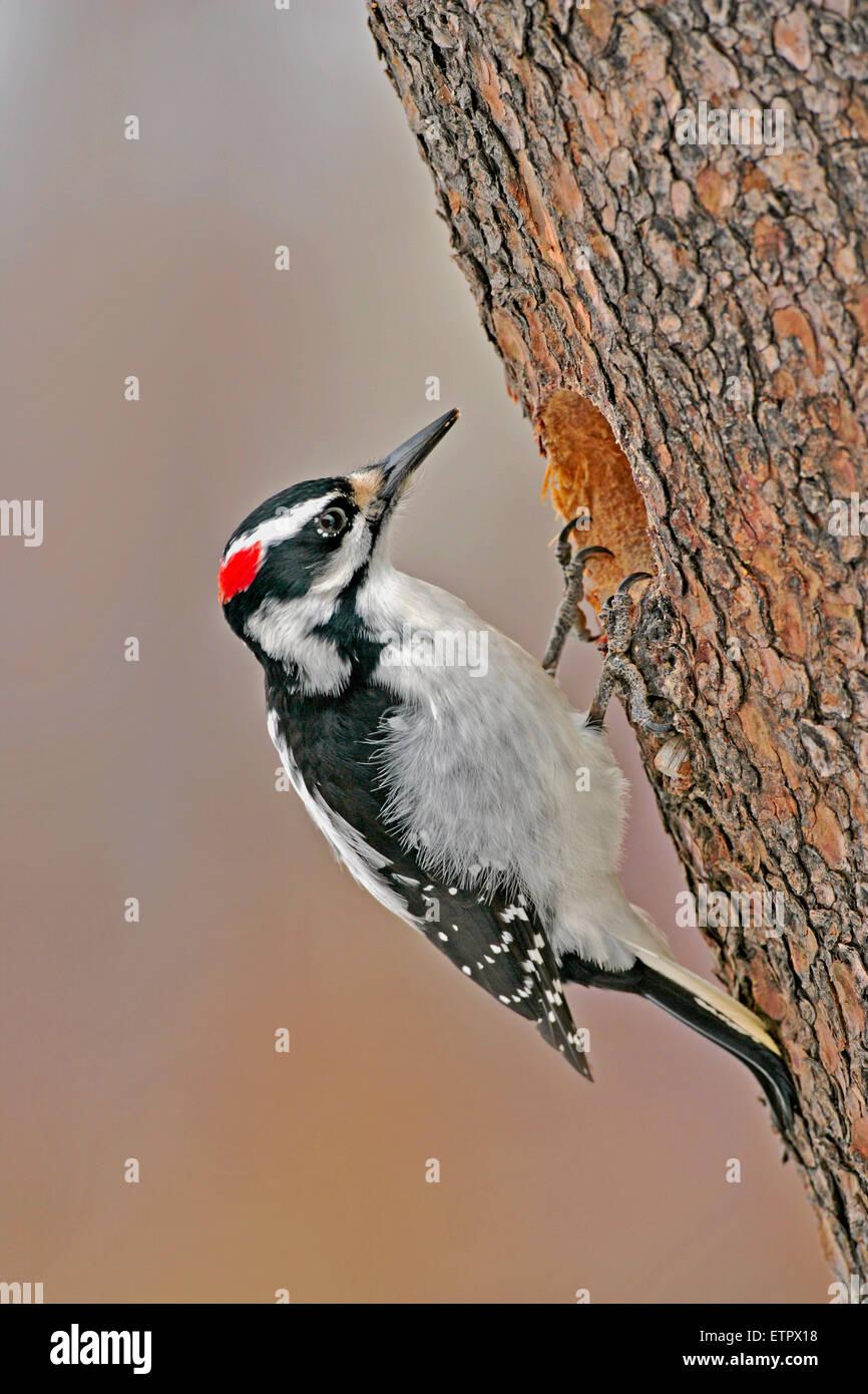 Hairy Woodpecker, female at hole of pine tree, ( Picoides villosus ), - Stock Image