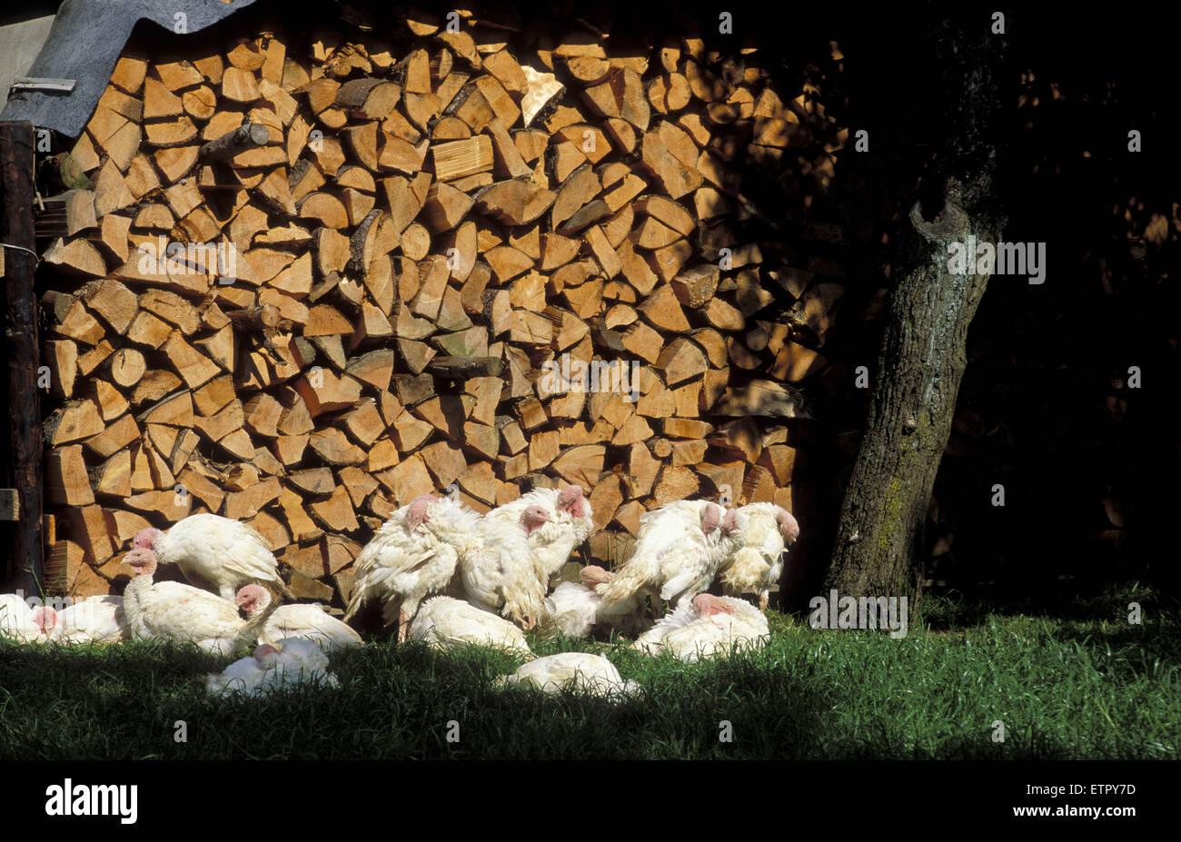 BEL, Belgium, Eastbelgium, turkeys in Iveldingen near Ambleve, firewood.  BEL, Belgien, Ostbelgien, Truthaehne in Stock Photo
