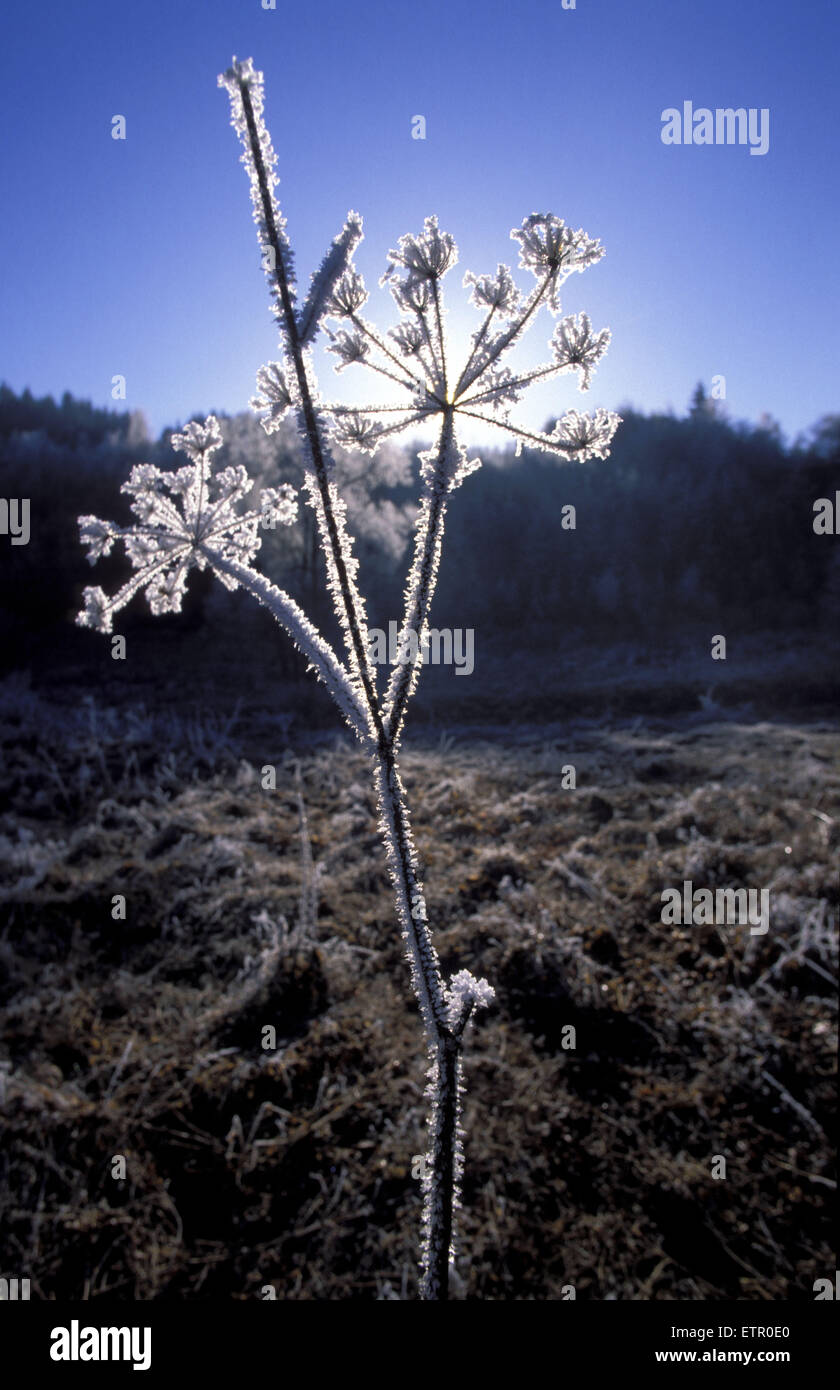 BEL, Belgium, Eastbelgium, winter at the river Our valley near the village of Ouren, hoar frost on a plant.  BEL, Stock Photo