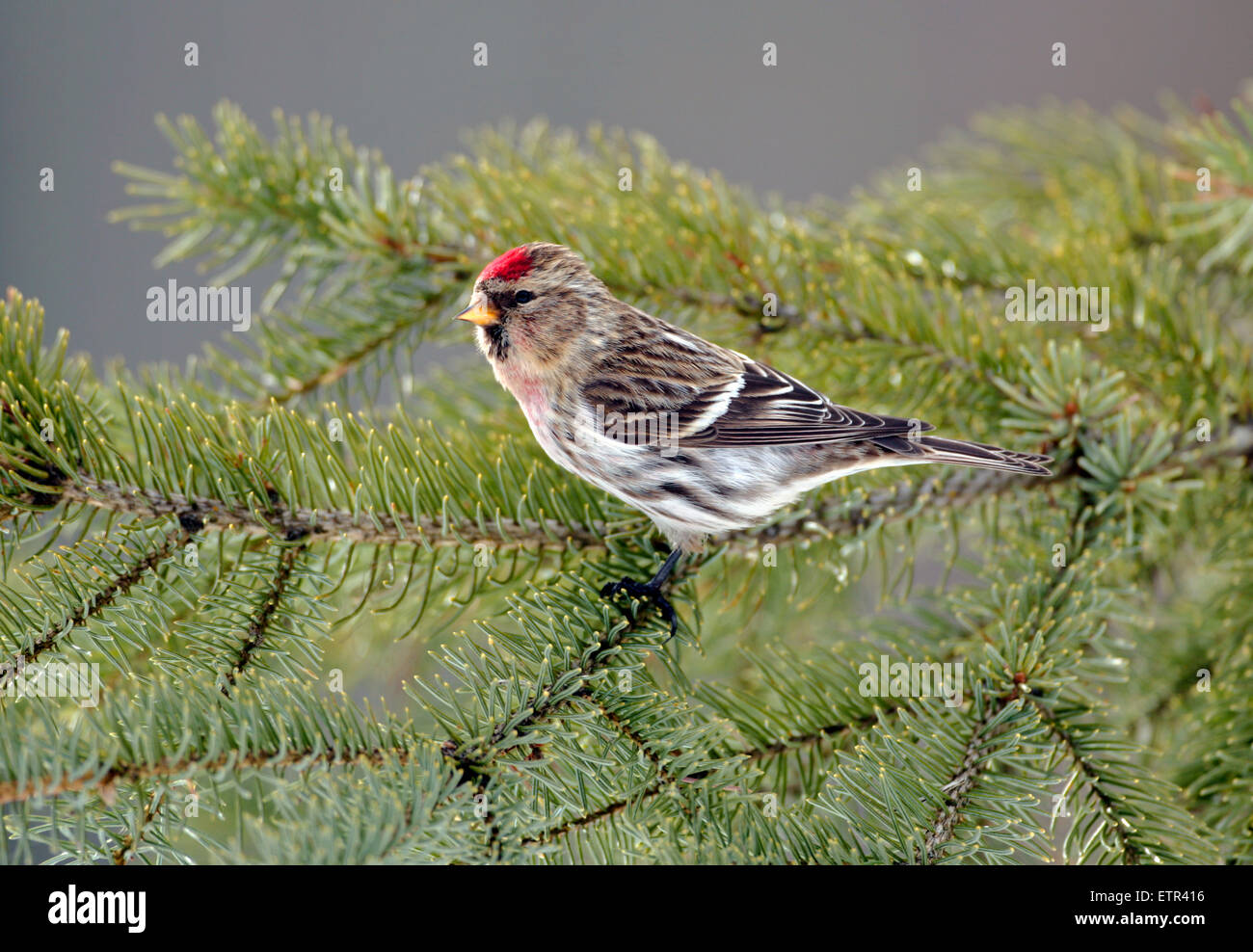 Hoary Red-poll perched in spruce tree - Stock Image