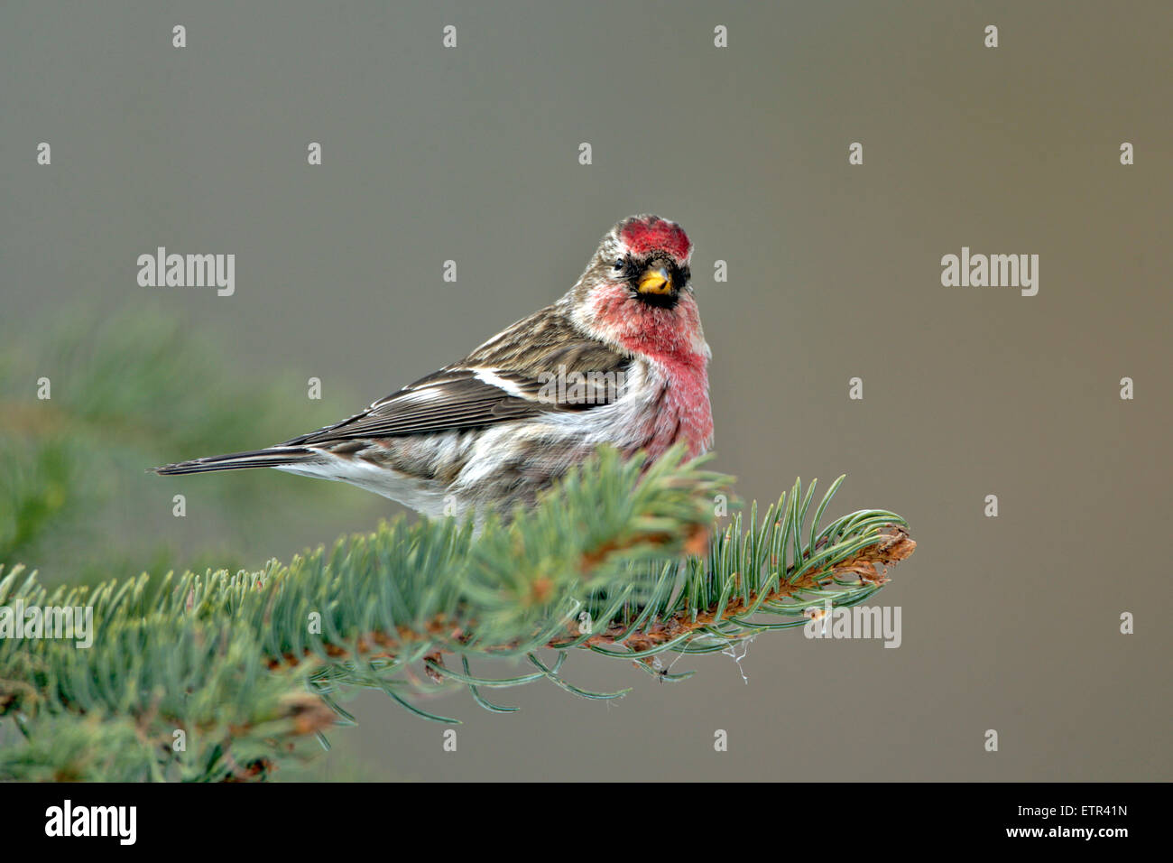 Hoary Red poll perched in spruce tree - Stock Image