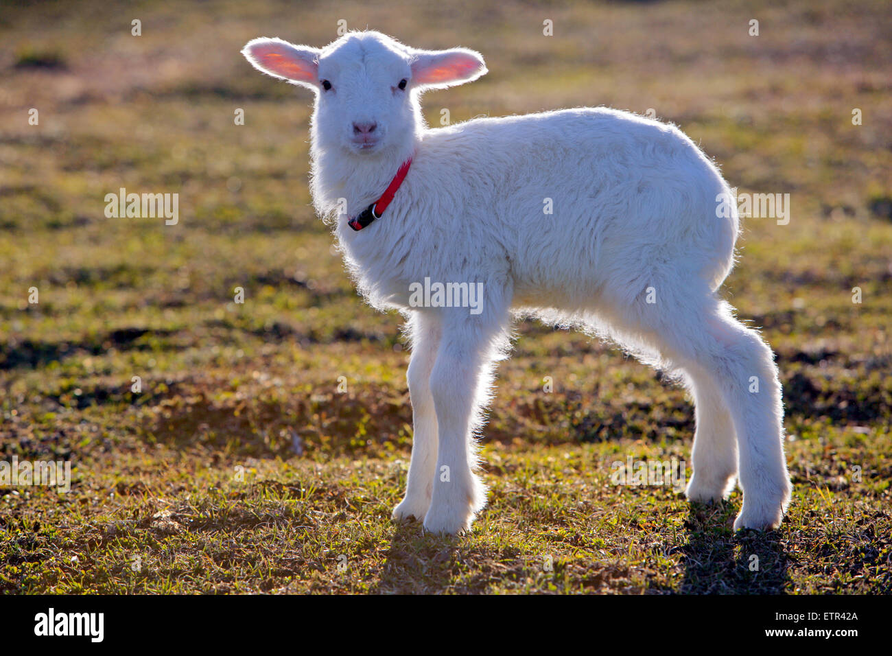 Portrait of  few week old Lamb standing in meadow - Stock Image