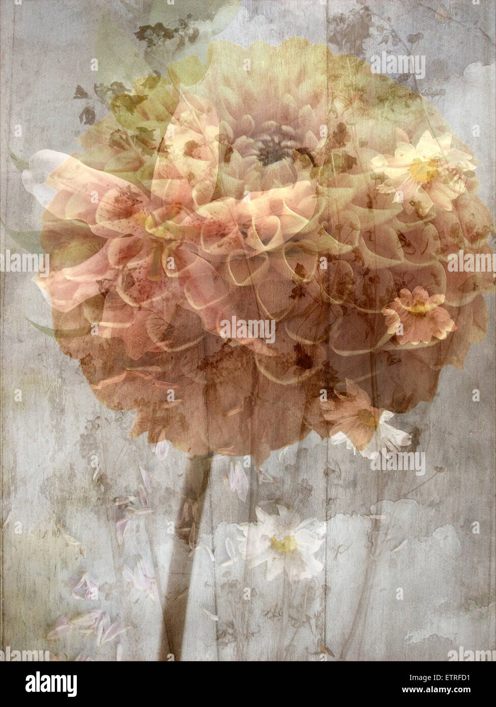 a poetic floral montage of daisy and lily - Stock Image