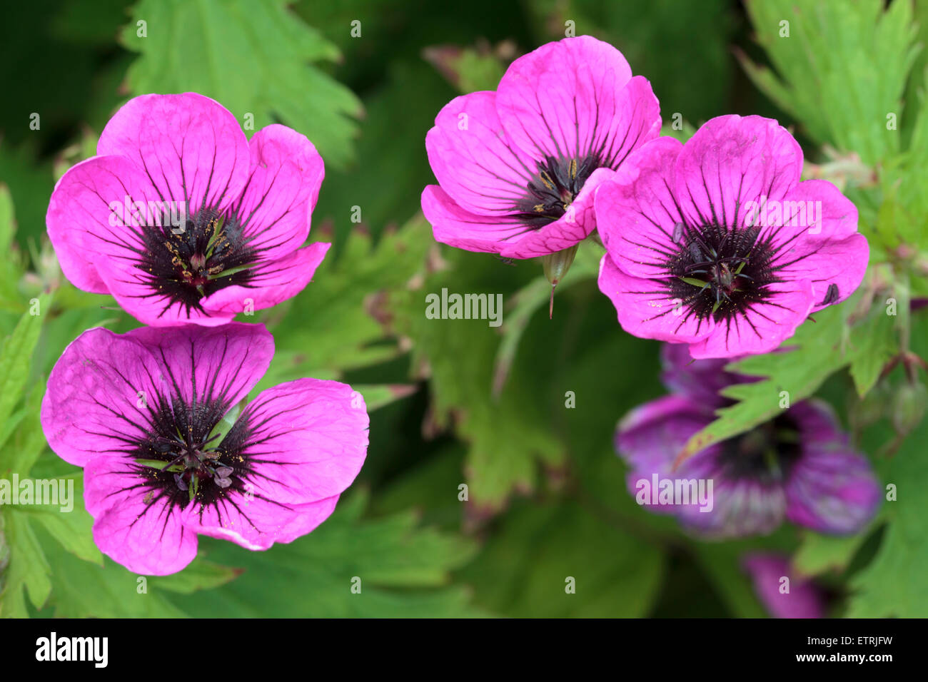 Dark eyed magenta flowers of the spreading, hardy, Geranium psilostemon - Stock Image