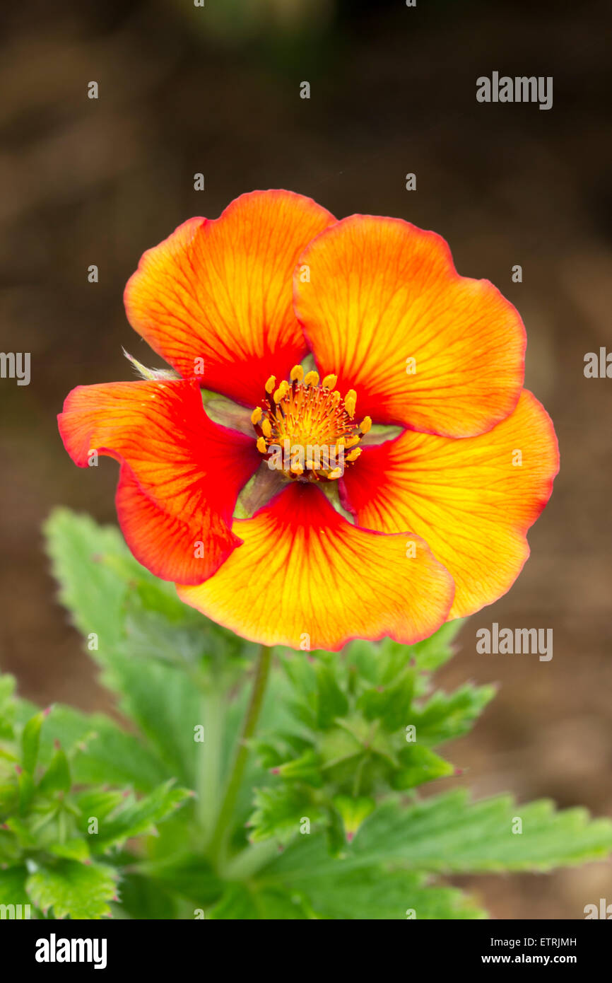 Red and yellow flecked flower of the perennial cinquefoil, Potentilla 'Blazeaway' - Stock Image