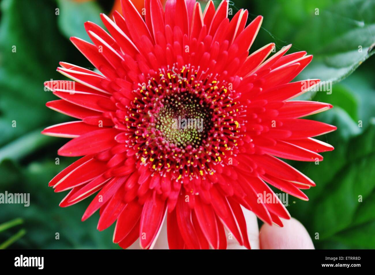A beautiful red flower in central florida stock photo 84116381 alamy a beautiful red flower in central florida izmirmasajfo