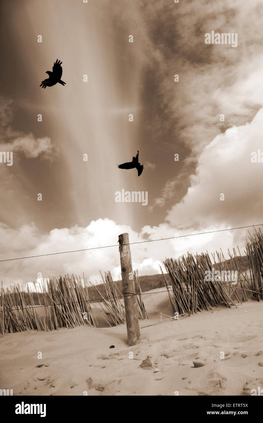 two raves flying over the dunes in sepia tones, - Stock Image