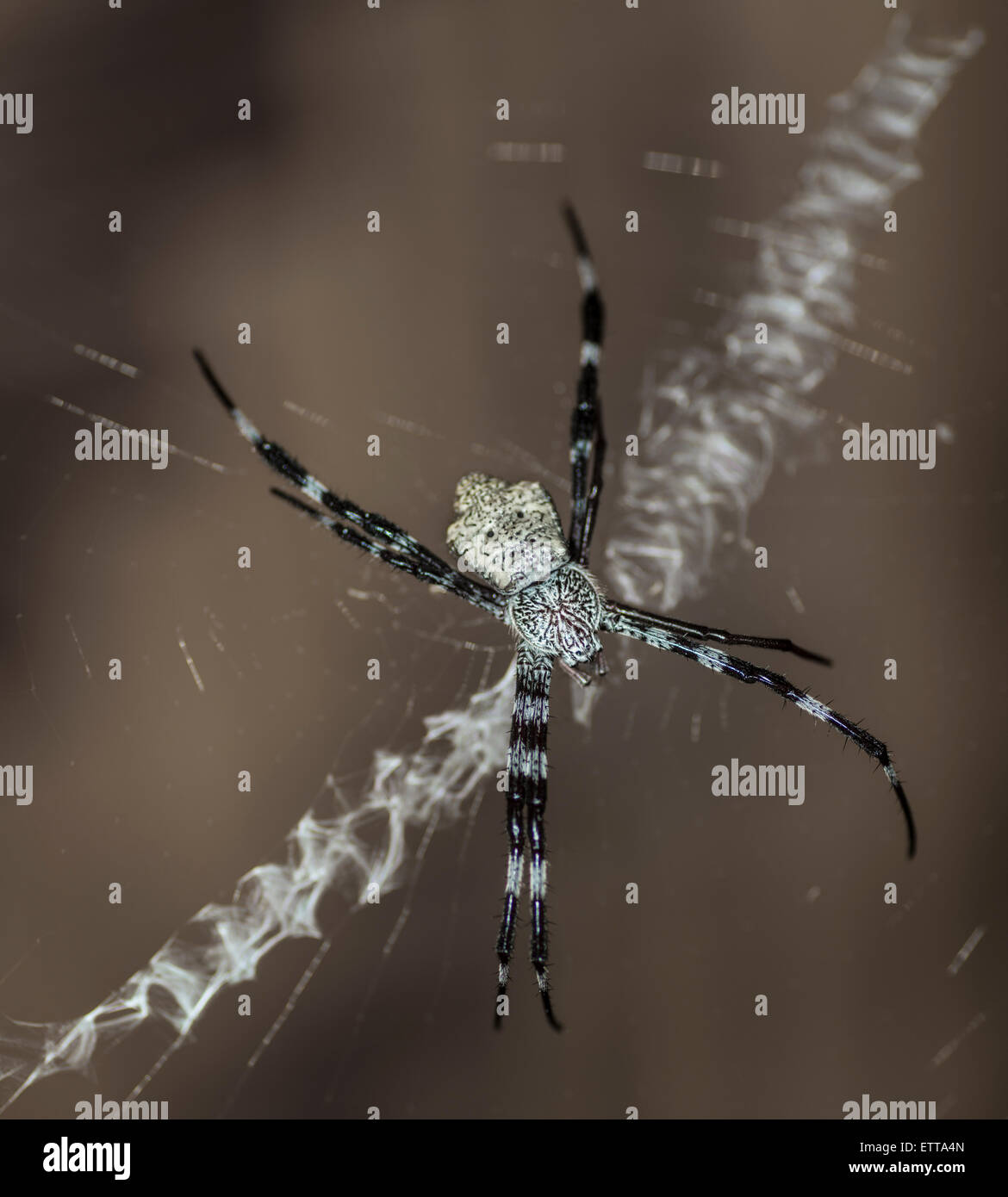 Orb-weaver spider sitting in its web Stock Photo
