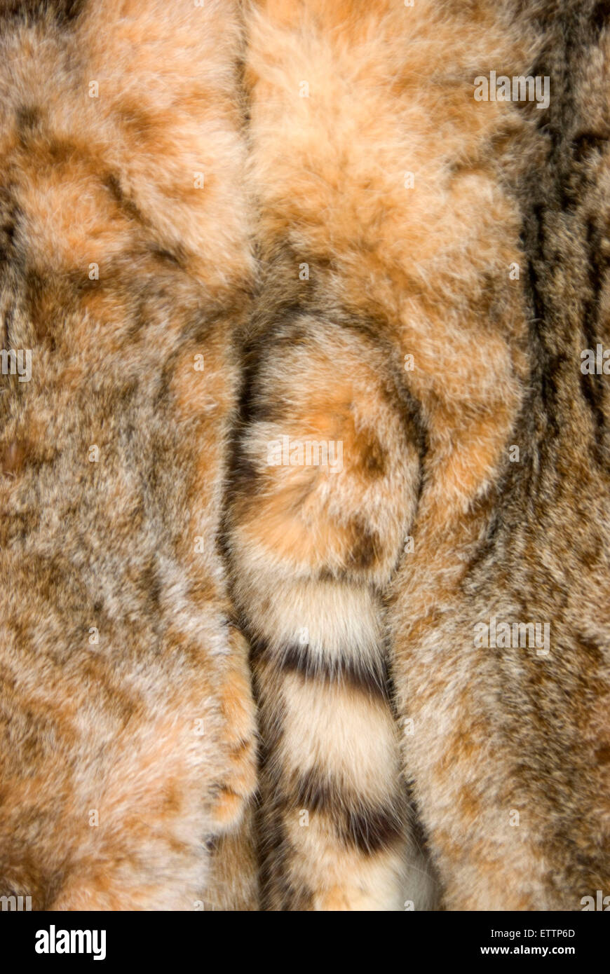 Bobcat fur, Grizzly Mountain Long Rifles Horse Ridge Rendezvous, Deschutes County, Oregg Stock Photo