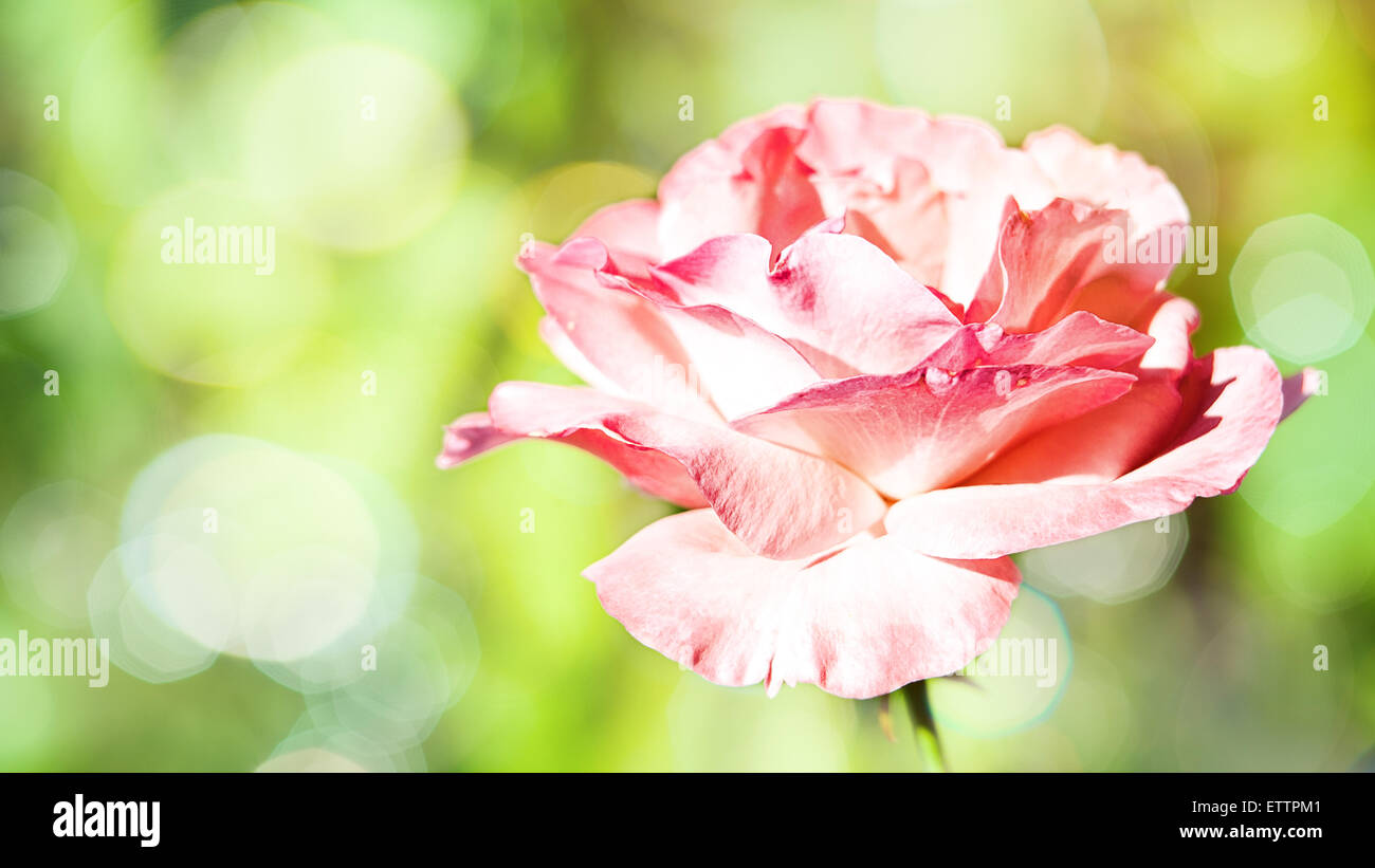 Panoramic Floral Backgrounds Pink Flower Stock Photos Panoramic